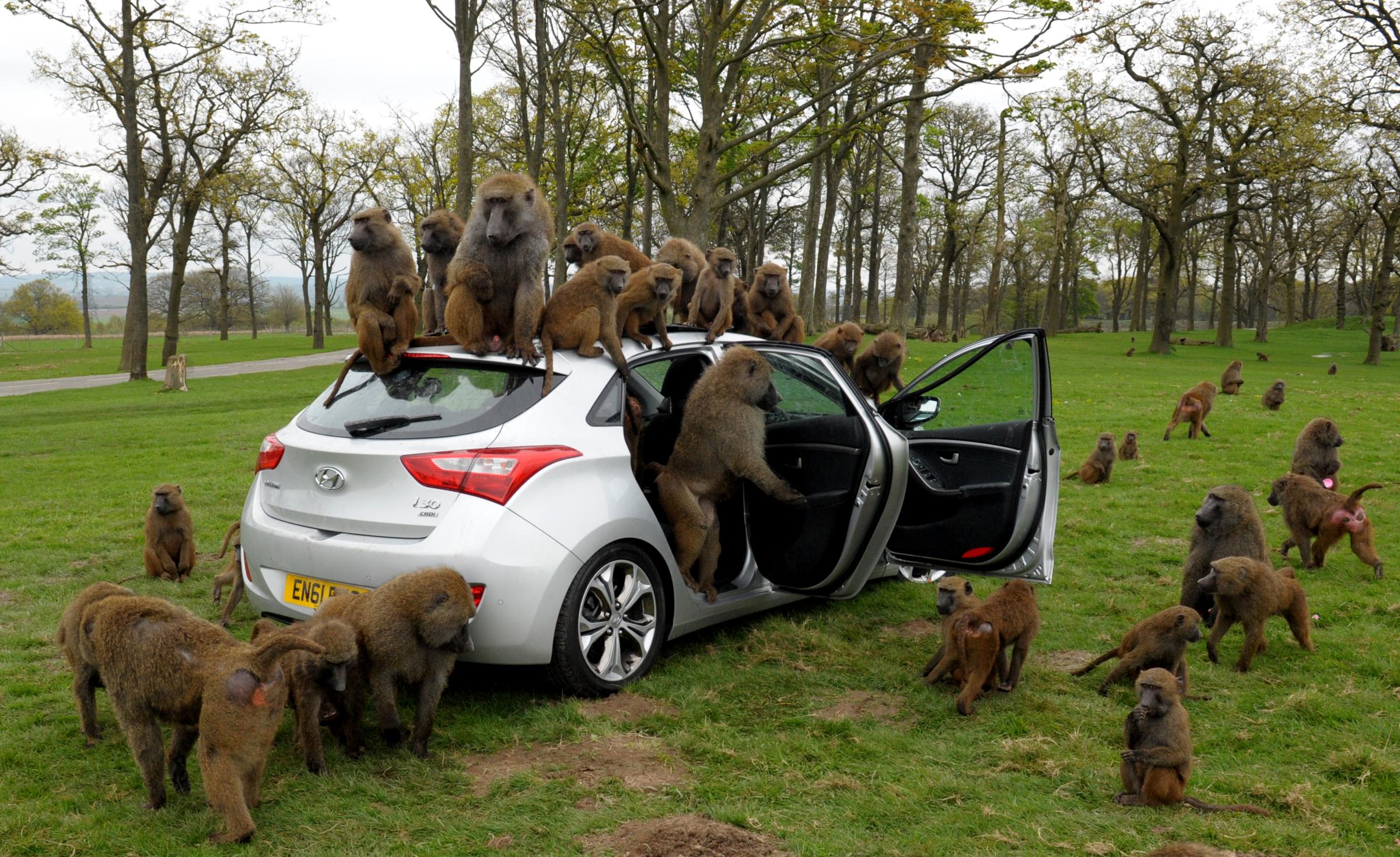 Monkeying Around: Our Favourite Safari Park Worst-Case-Scenarios ...