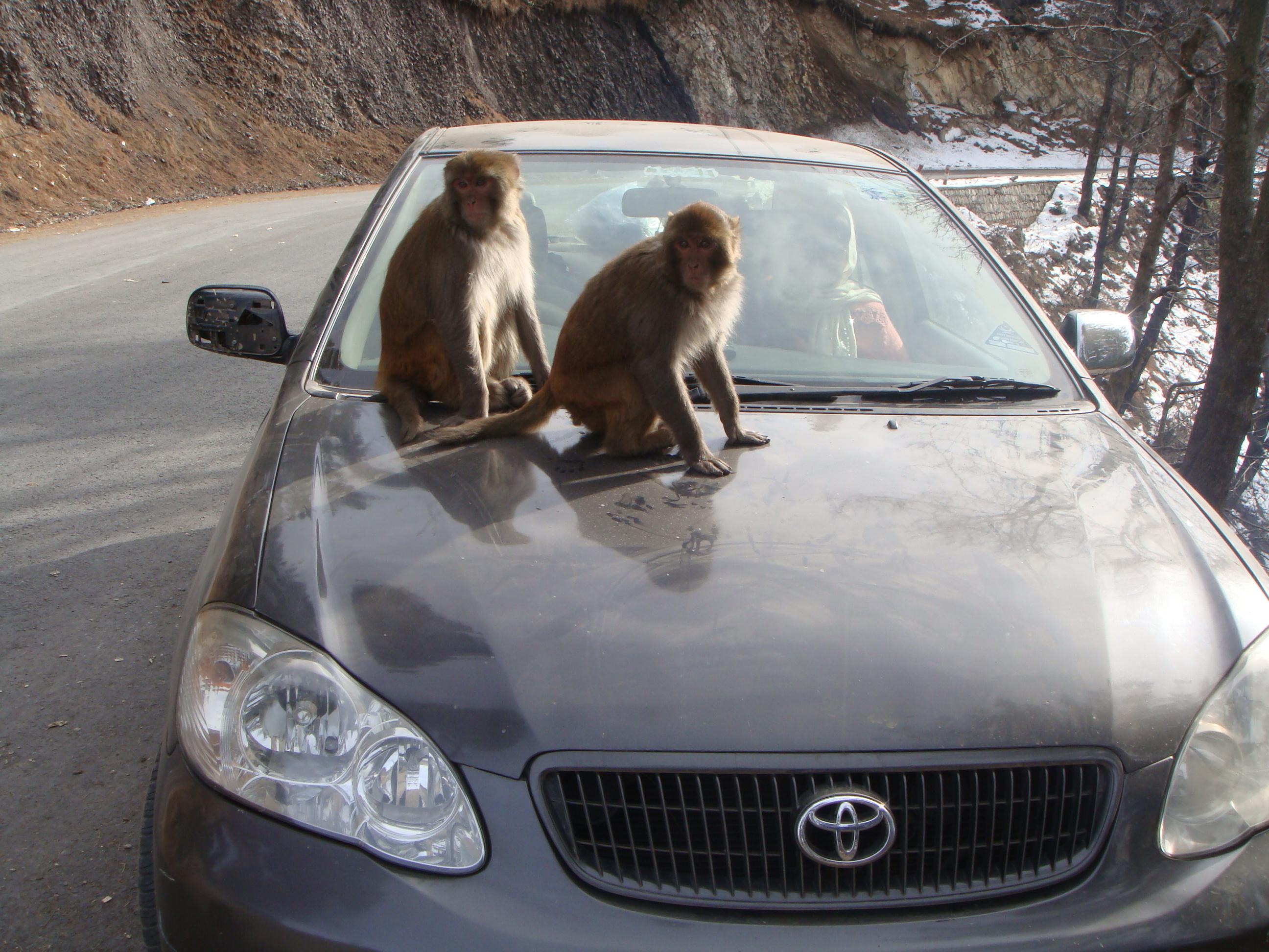 Monkeys on car, Animals, Apes, Blue, Car, HQ Photo