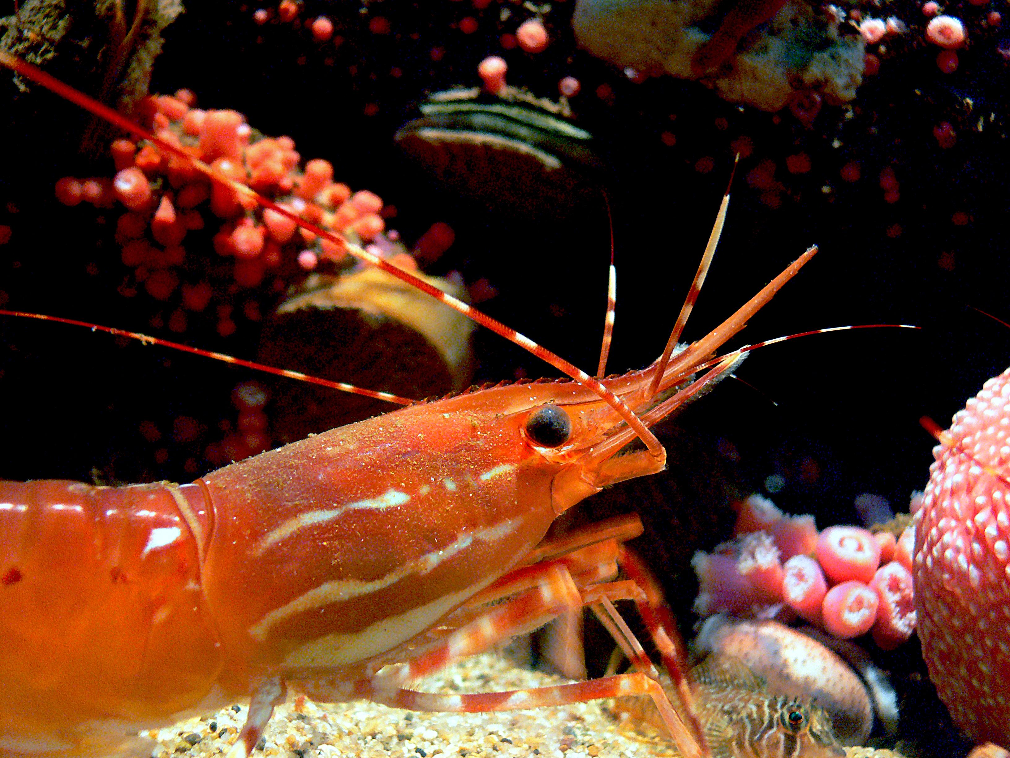 Monterey Aquarium. (35), Animal, Free photos, Underwater, Shrimp, HQ Photo