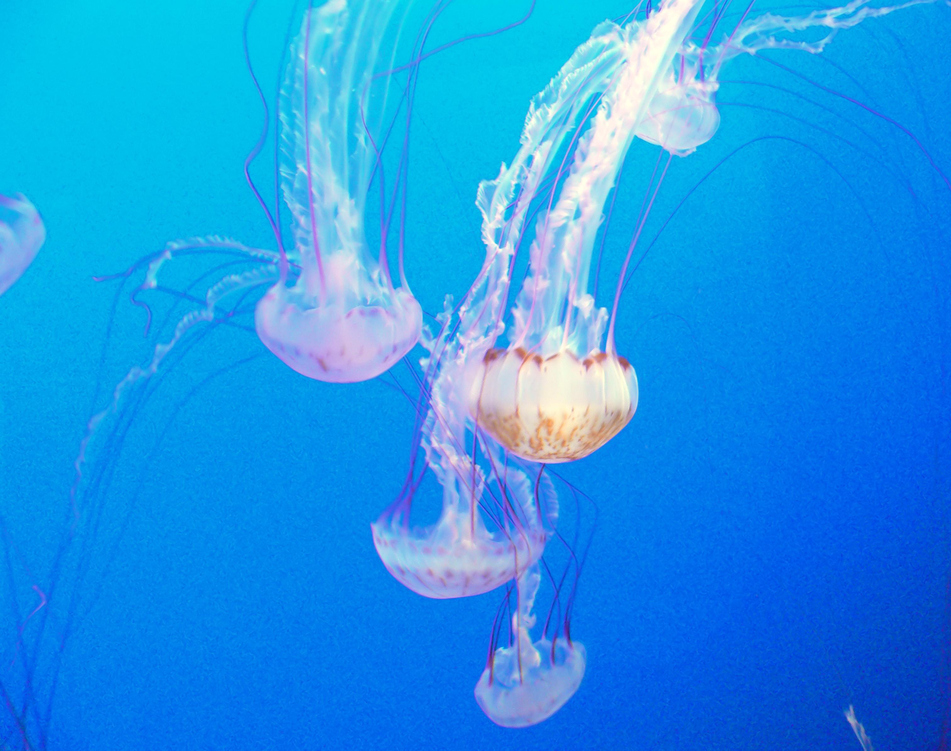 Monterey aquarium. jellyfish. photo