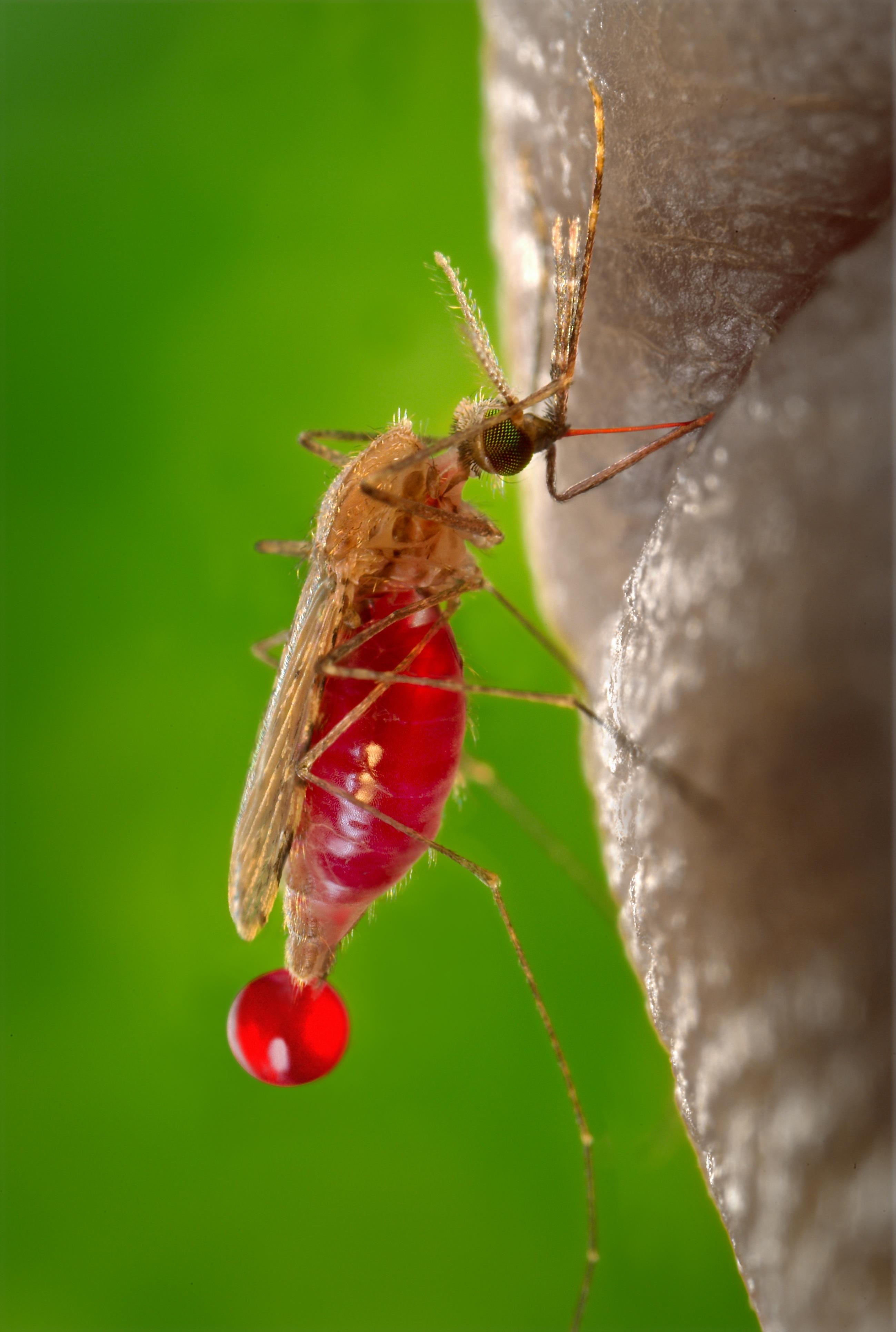 Mosquito closeup photo