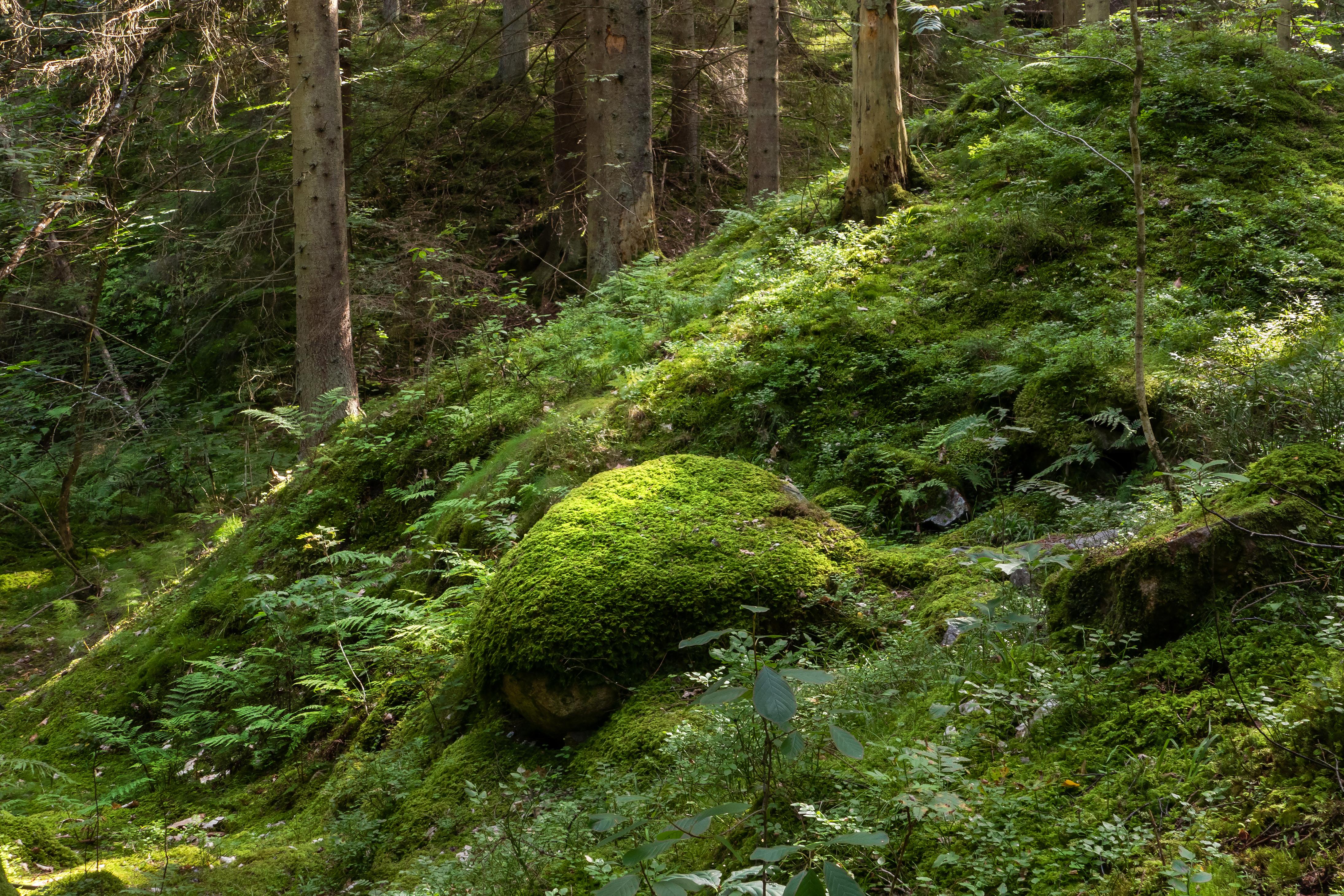 Moss-covered boulder on a slope in gullmarsskogen ravine photo