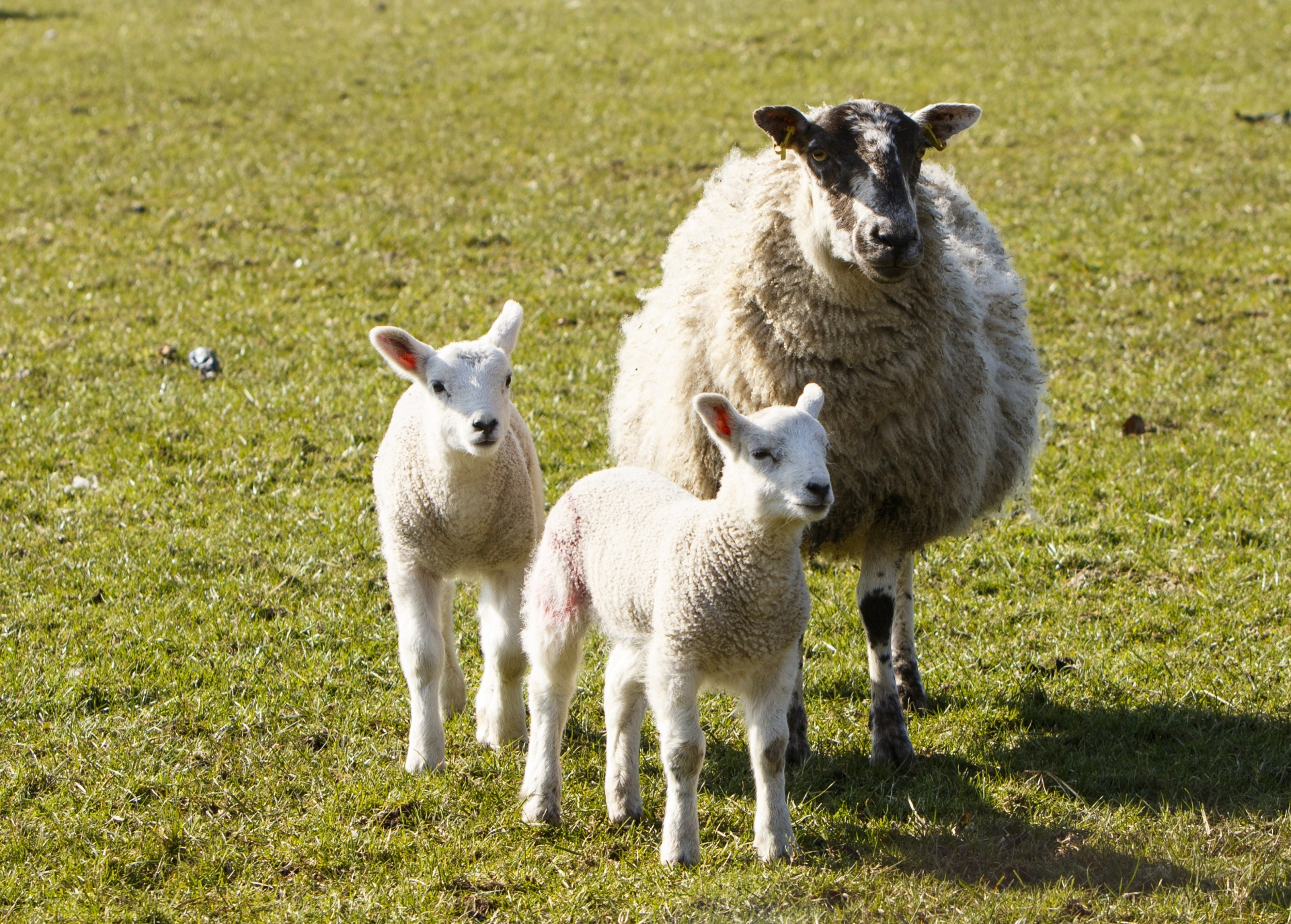 Lambs And Mother Sheep Free Stock Photo - Public Domain Pictures