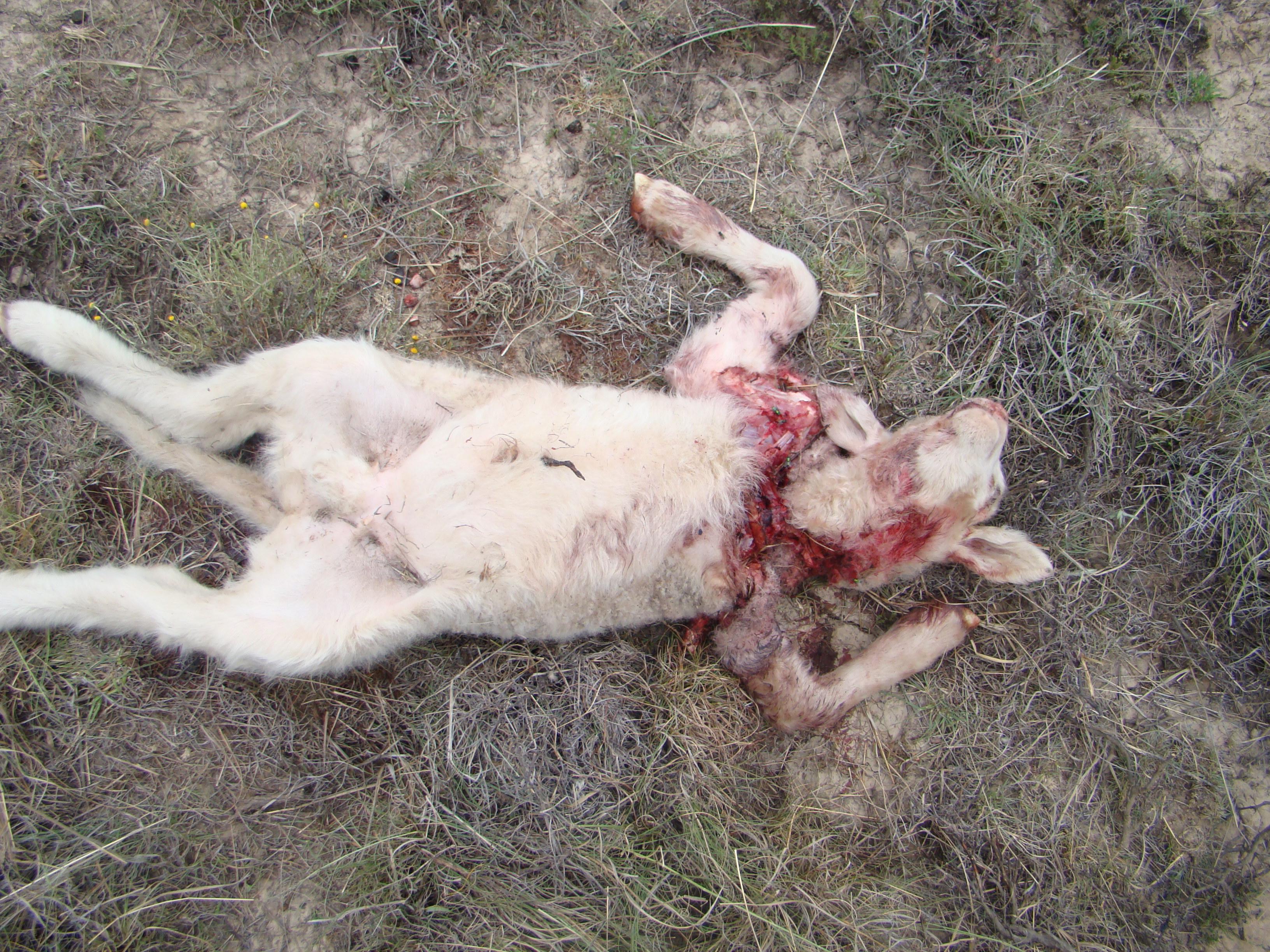Predator problem (visuals) gruesome | freestatesheepdogs