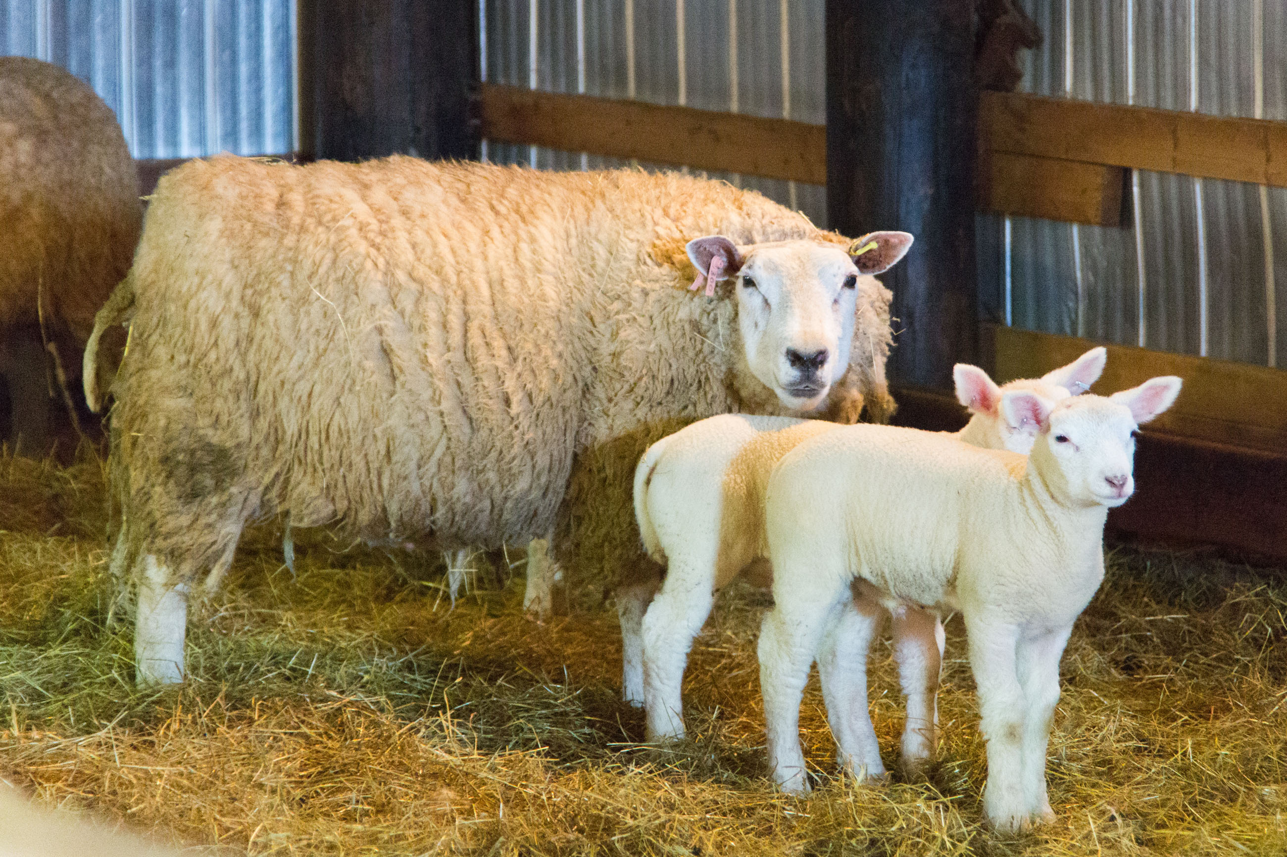 Mother and Lambs, Adorable, Soft, Maternal, Naive, HQ Photo