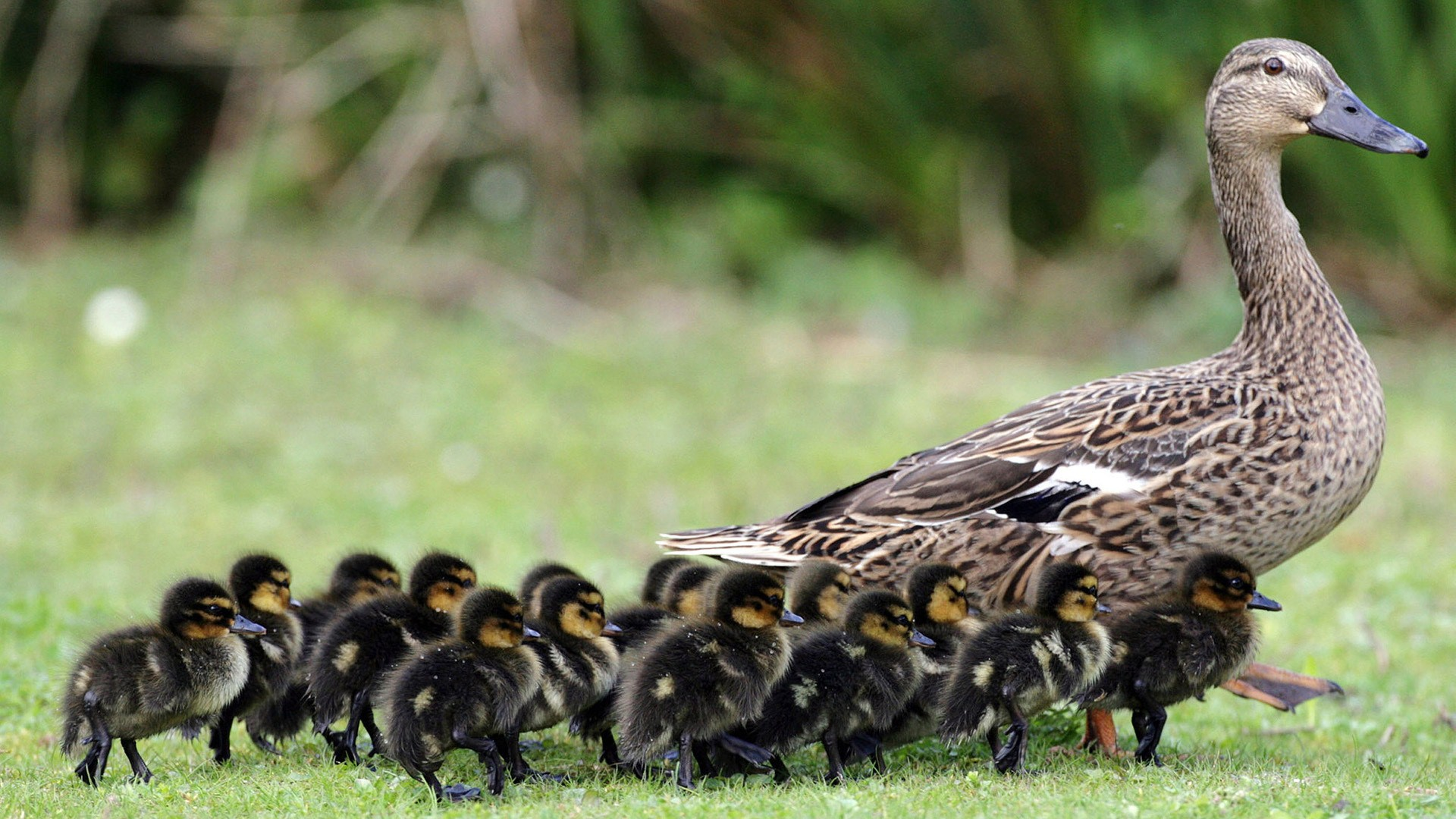 Cute Duck Child with Her Mother Superb Photo   HD Wallpapers