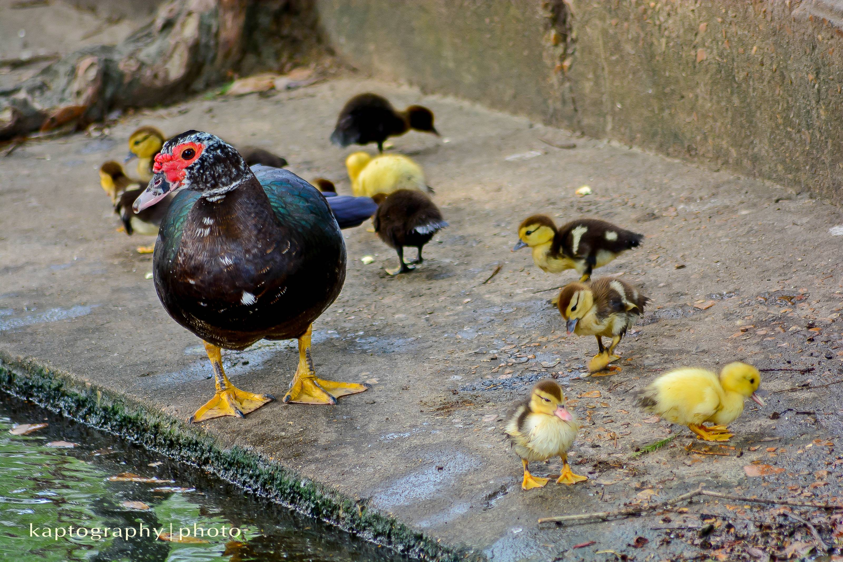 Baby Ducks with Mother Duck at Girard Park  