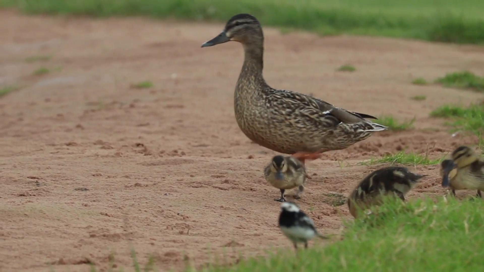 Mother duck, Mallard, with ducklings on beach in rain. Stock Video ...