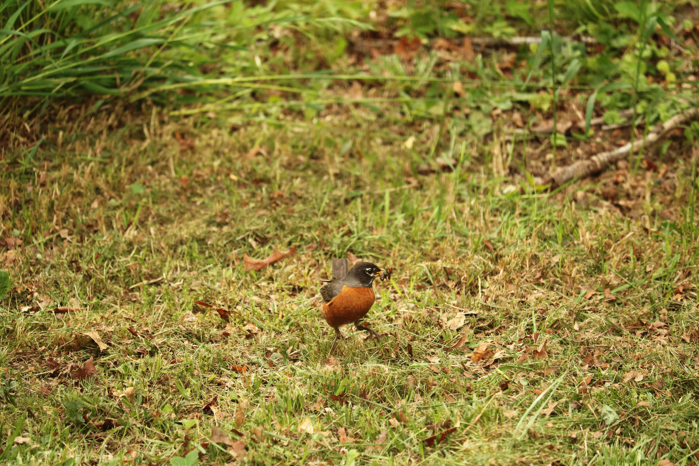 Mother Robin, Animal, Beak, Bird, Bugs, HQ Photo