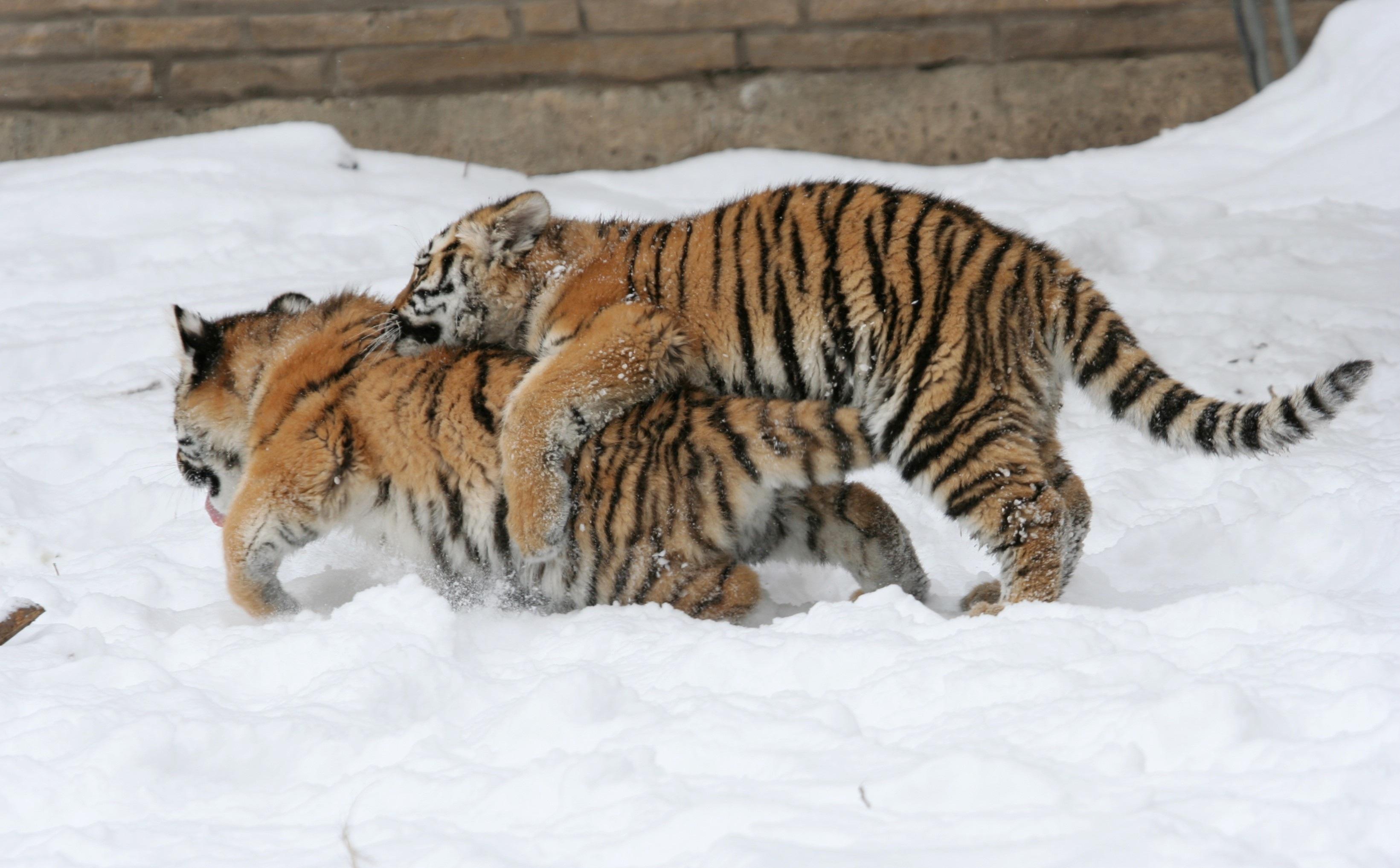 Mother's Love, Animal, Bengal, Cub, Fierce, HQ Photo