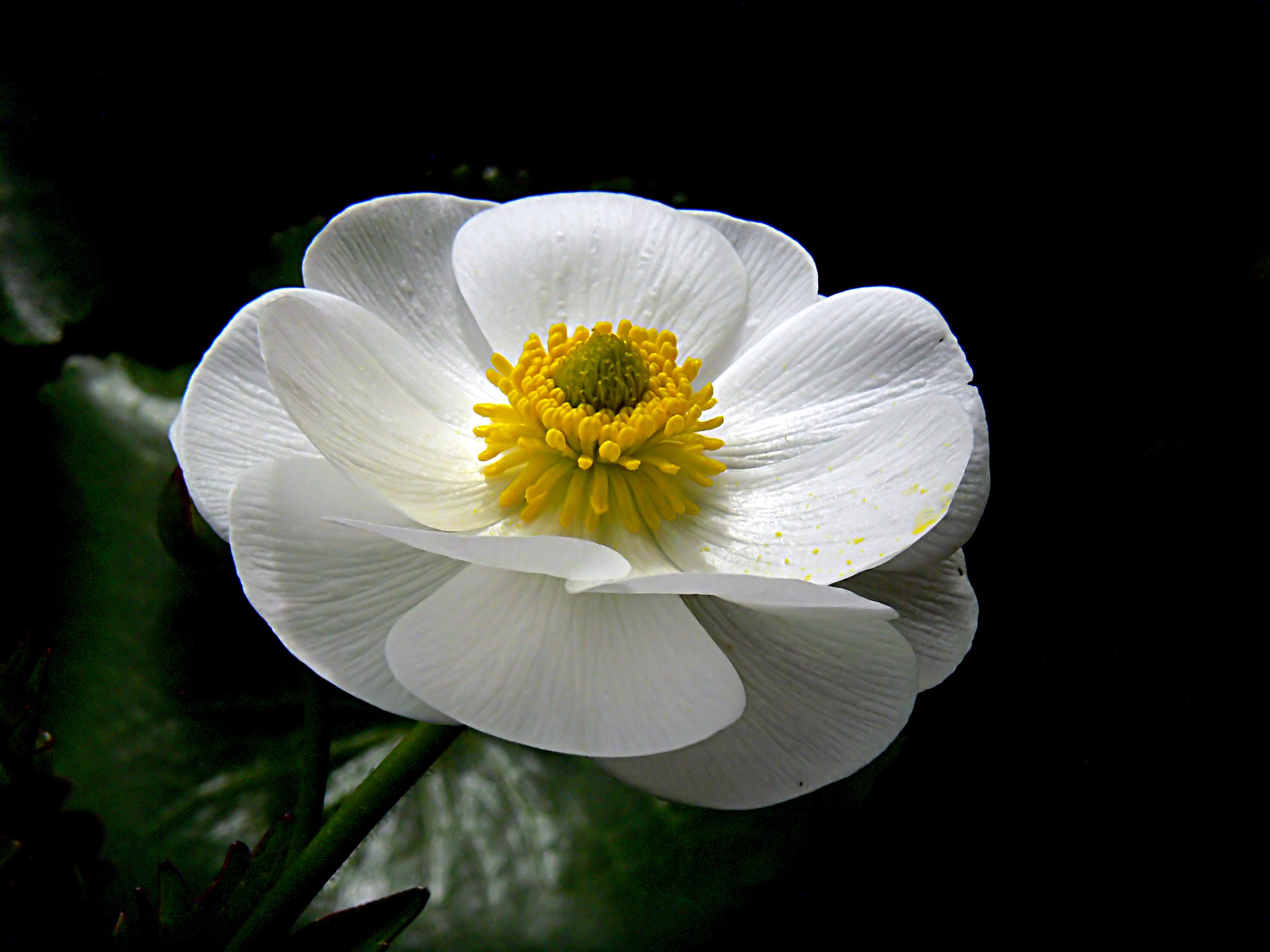 Mount cook lily. (ranunculus lyallii ) photo