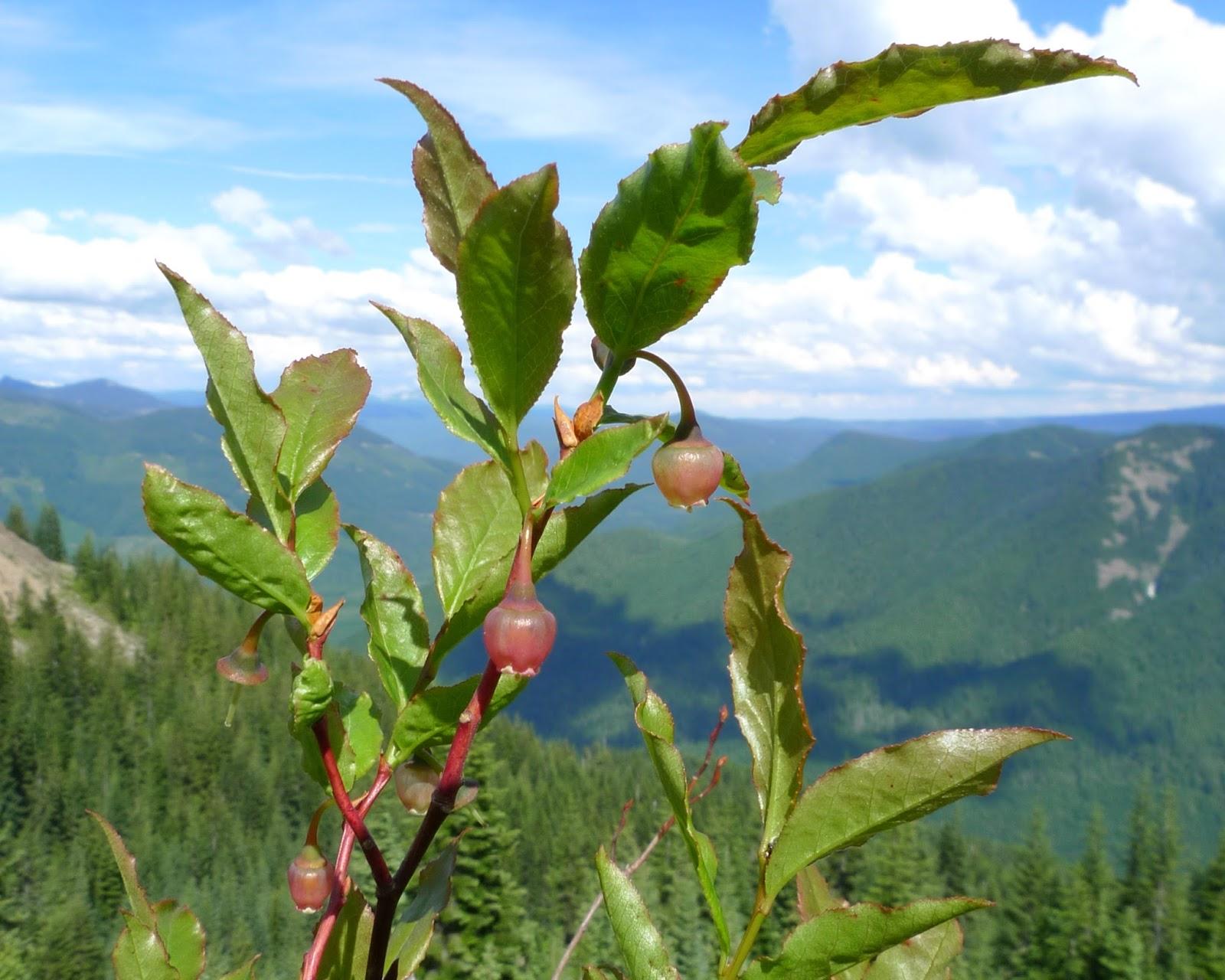 Wild Harvests: Mountain Berries: Huckleberries, Bilberries, and ...
