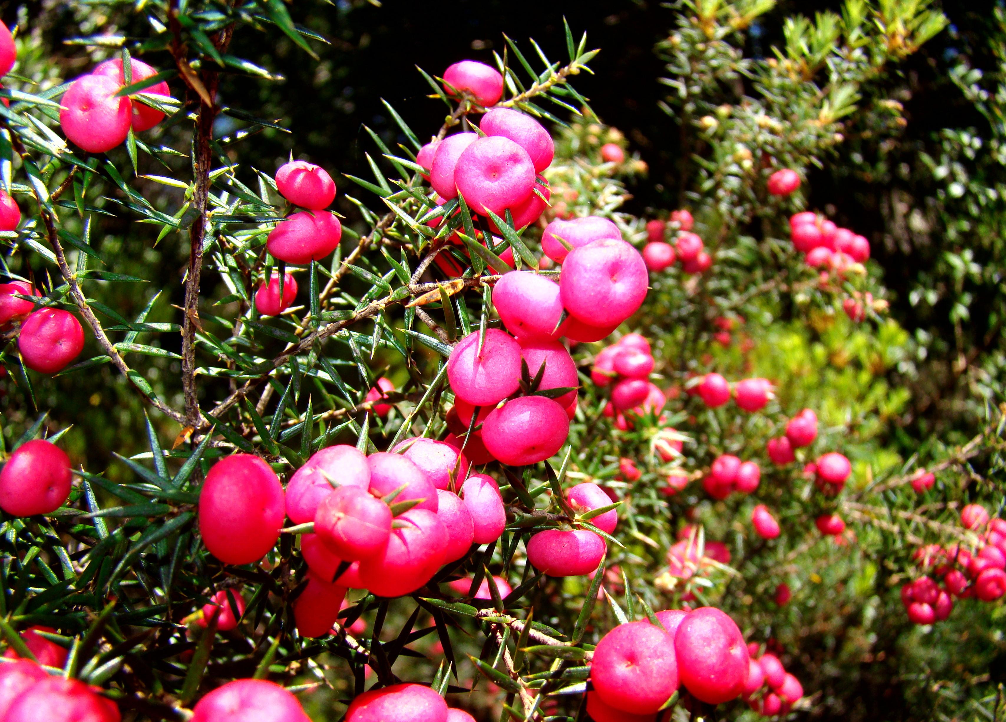 File:Pink Mountain Berries Lake St Clair.jpg - Wikimedia Commons
