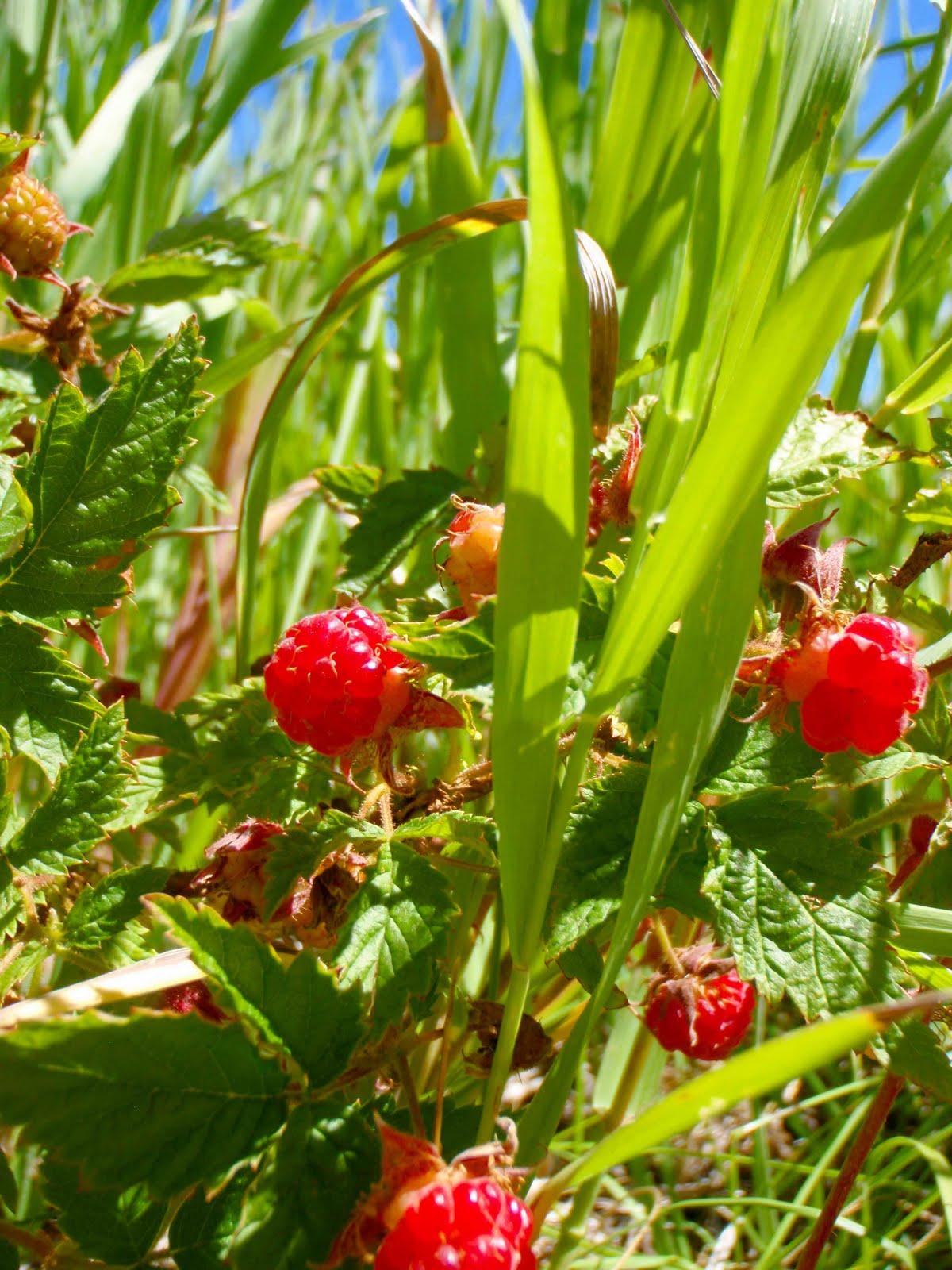 Wild About - Mountain Raspberries