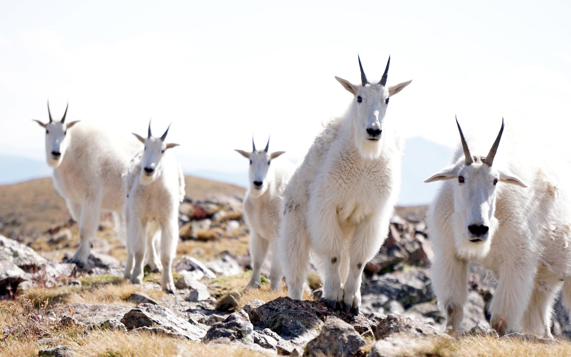 Best Hikes to See Mountain Goats - Outdoor Project