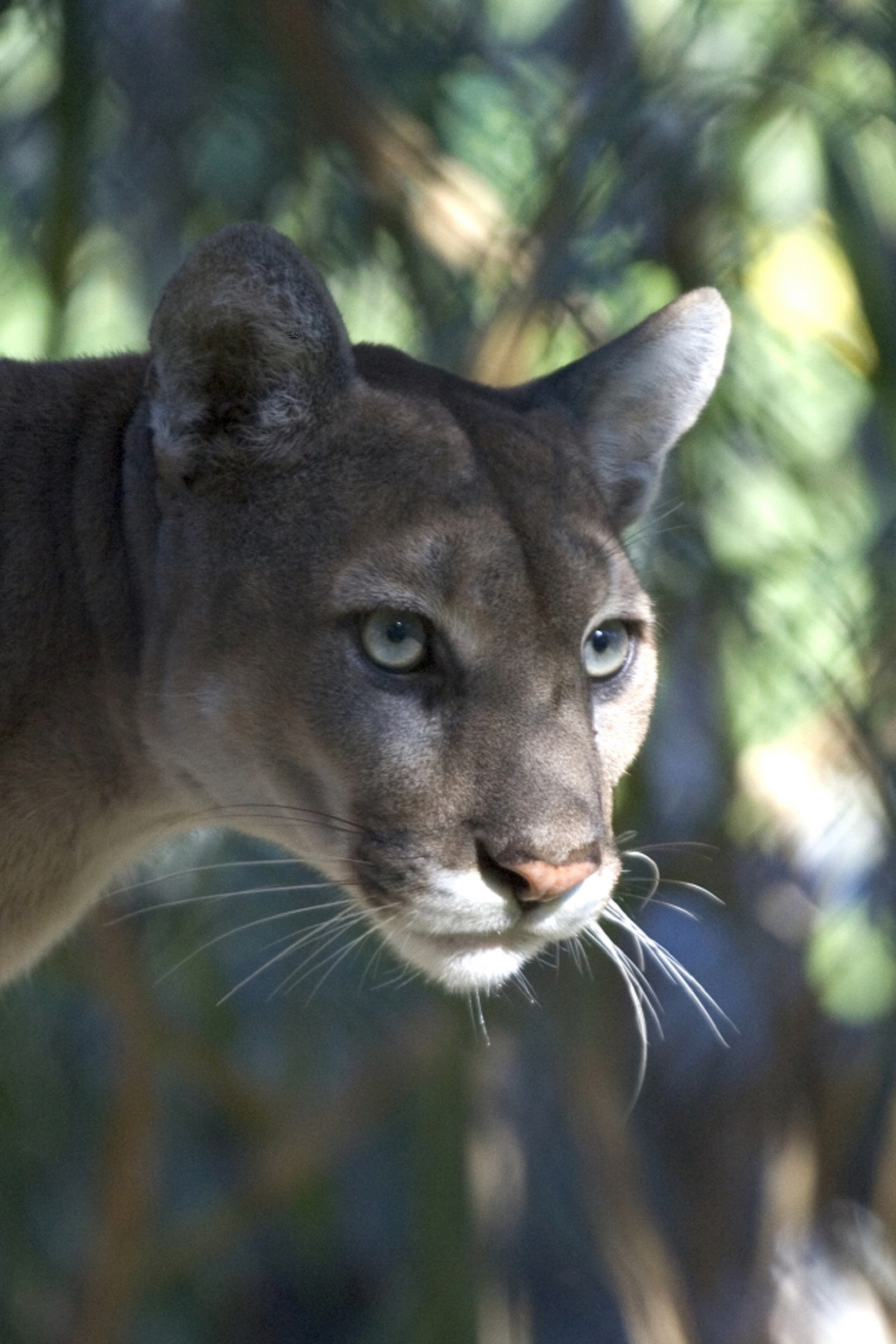 Mountain Lion, Nature, Wild, Mountain, Jungle, HQ Photo