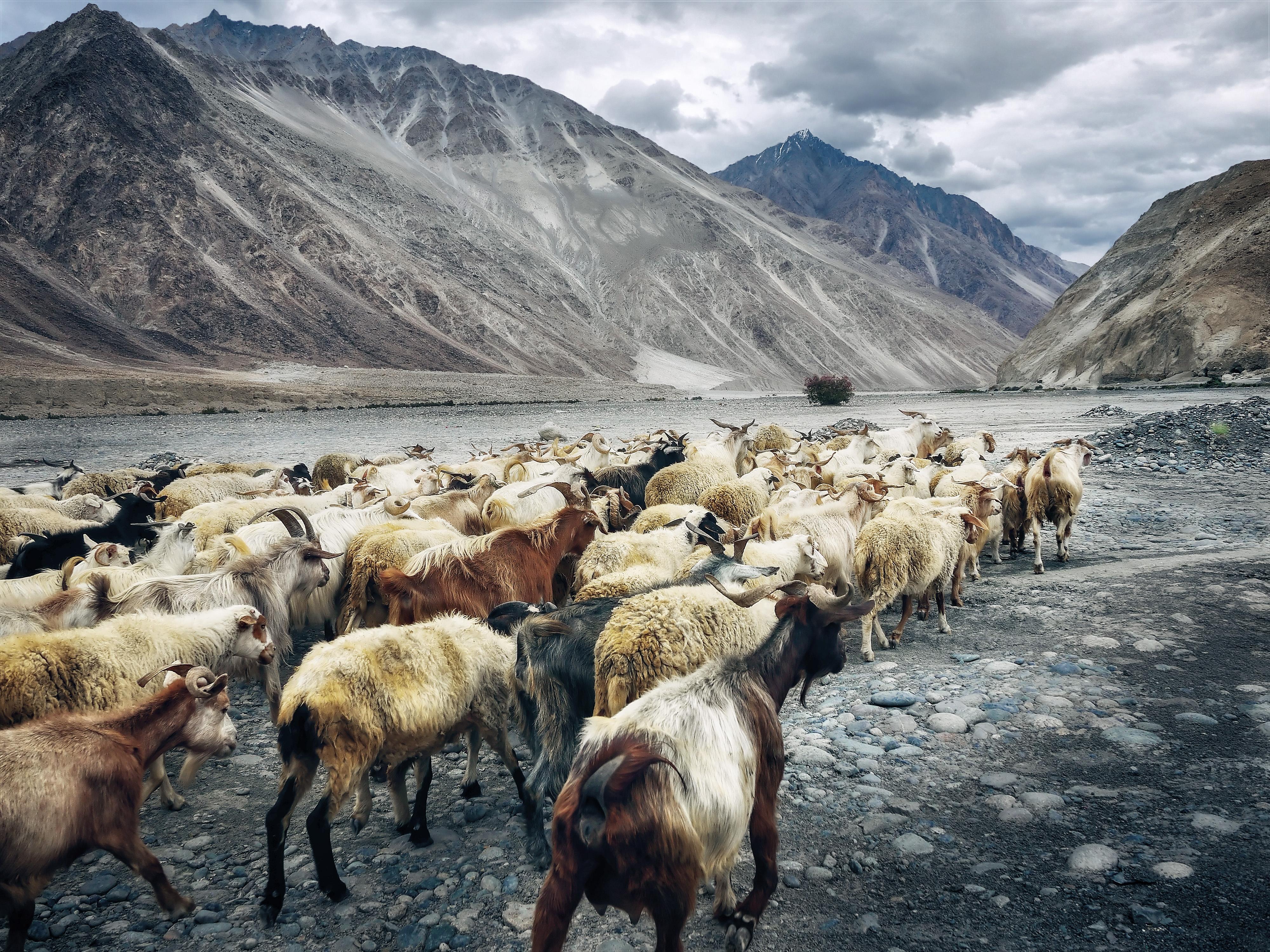 Mountainous herd photo