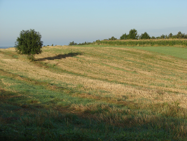 Mown wheat field photo