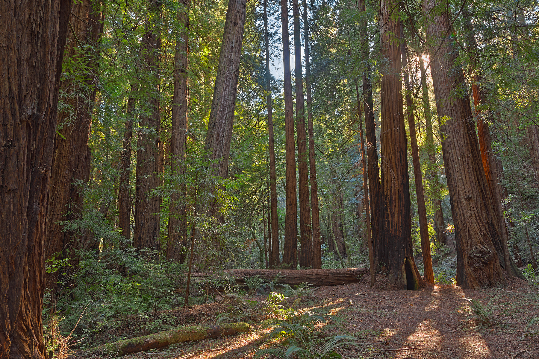 Muir woods scenery - hdr photo
