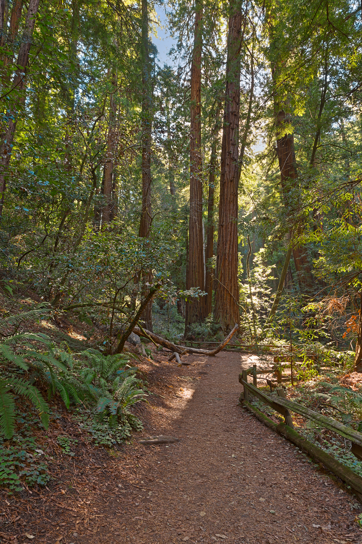 Muir woods trail - hdr photo