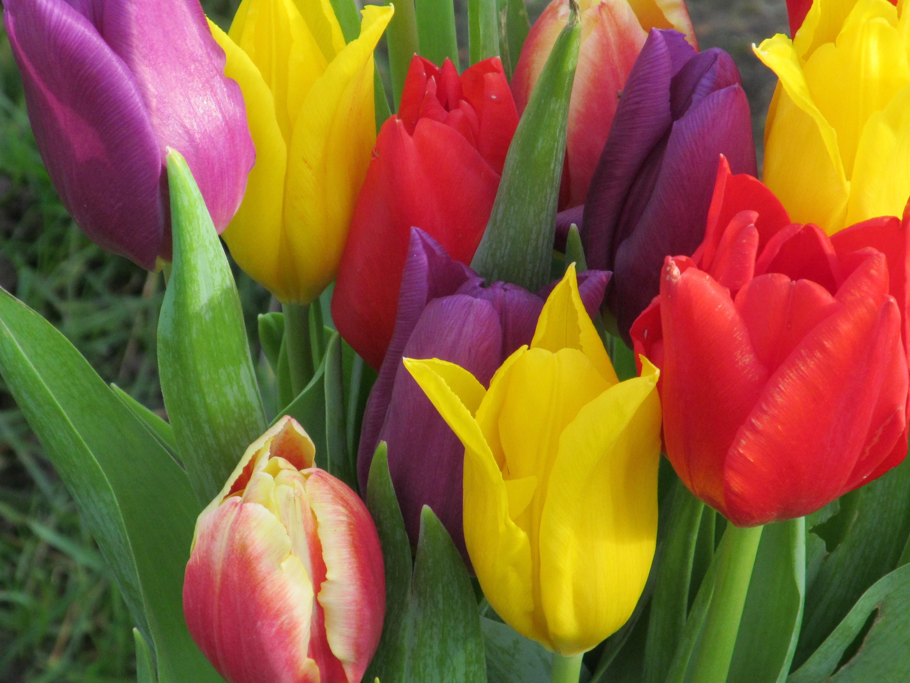 Flower: Tulip Multicolor Flowers Flora Tulips Blooms Wallpapers ...