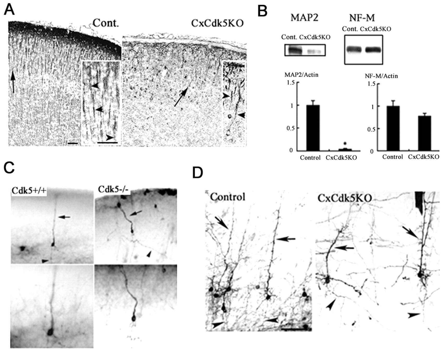Cdk5 is required for multipolar-to-bipolar transition during radial ...