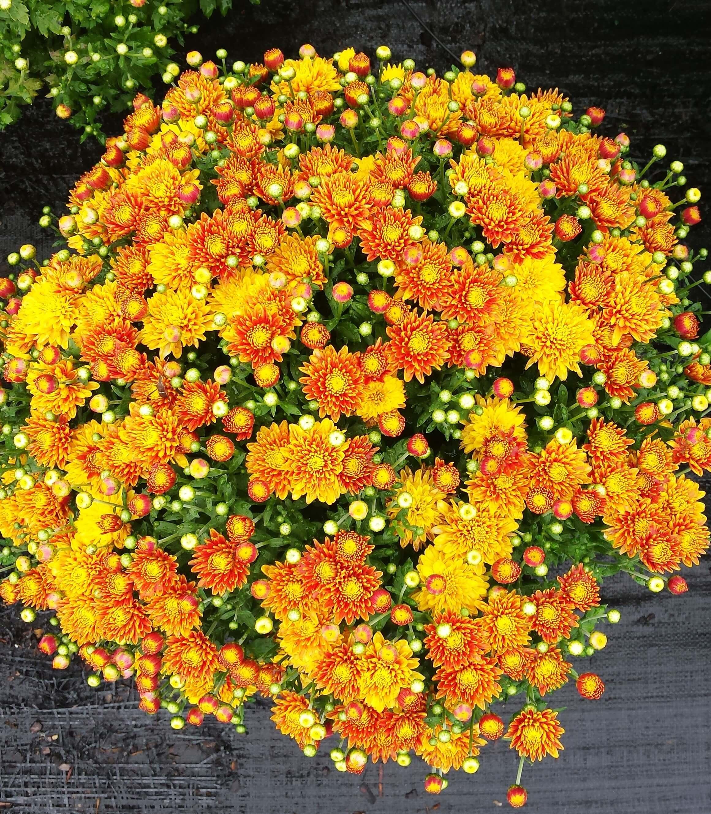 Free Photo Mum Flowers Blooming Bouquet Flower Free Download Jooinn