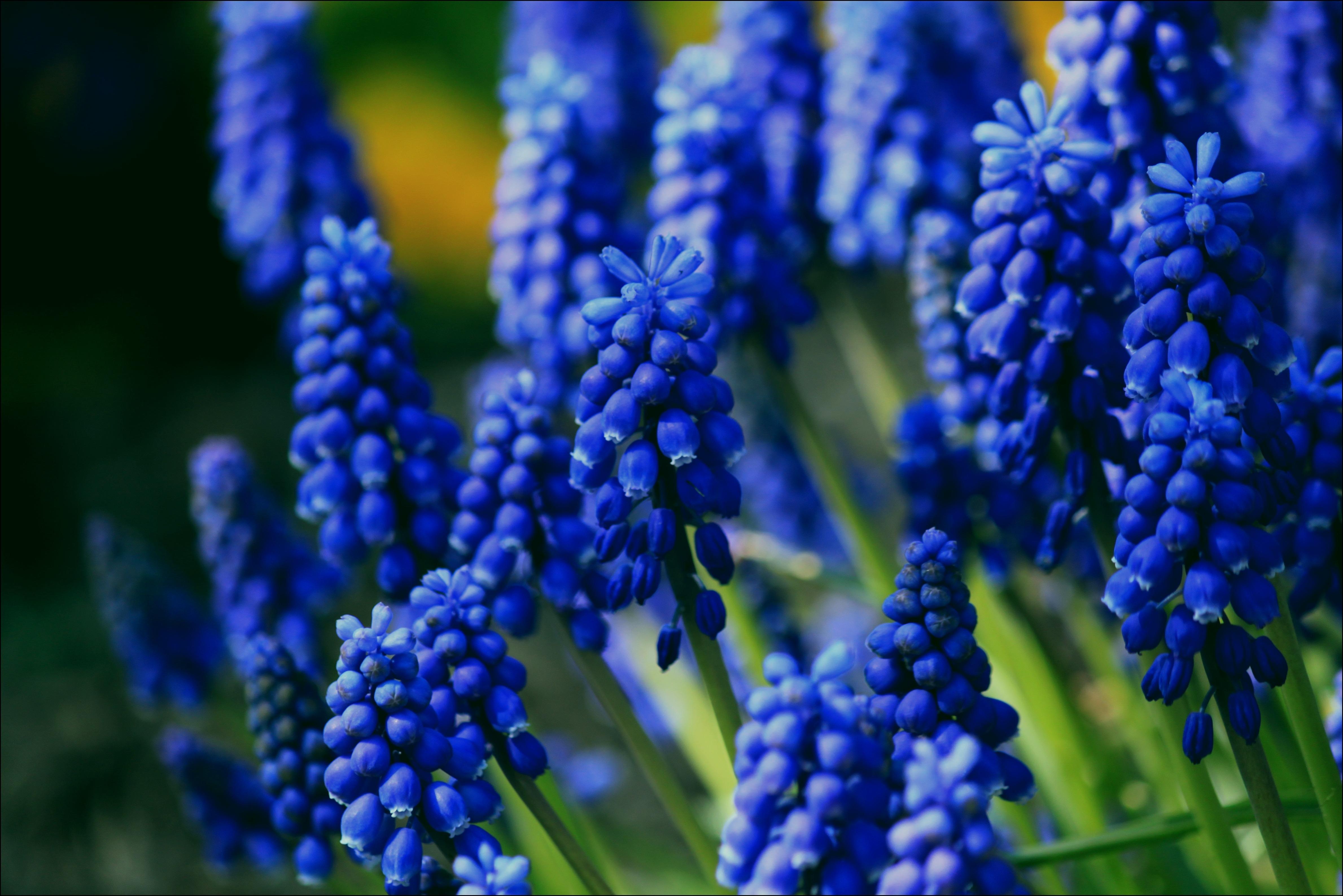 Muscari, Blue, Flower, Fragrance, Fresh, HQ Photo