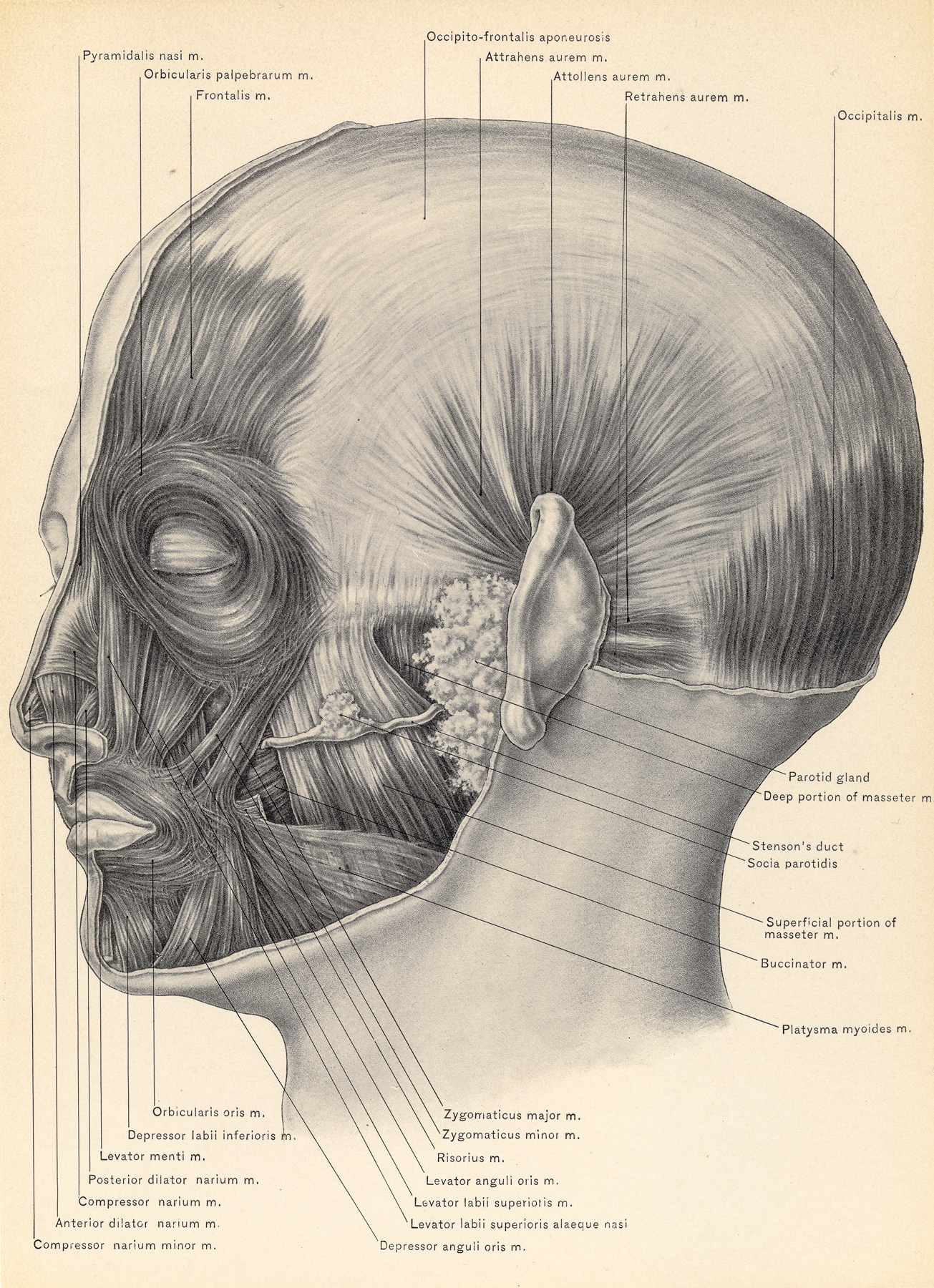 Free Photo Muscles Of Face And Scalp Circa 1902 Old Of Neck