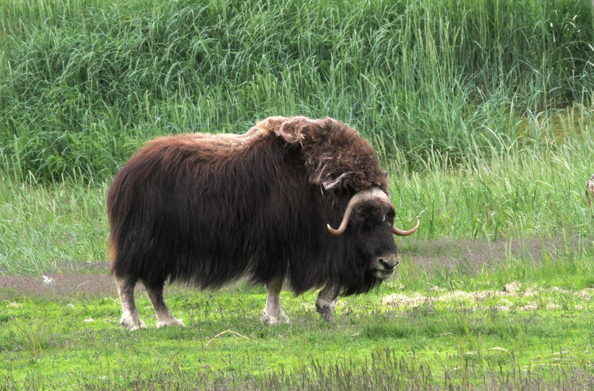 Ox photo