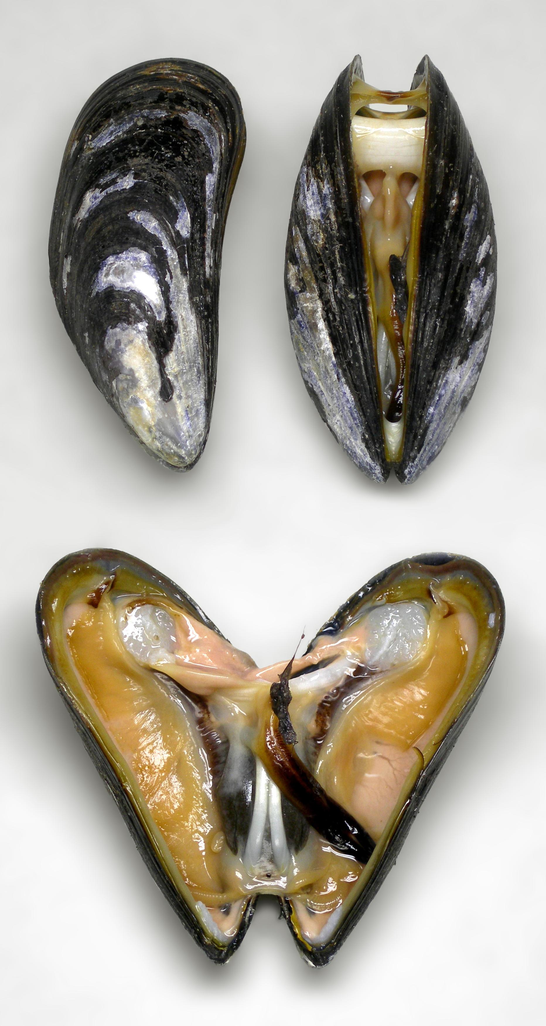 Mussel - Wikipedia