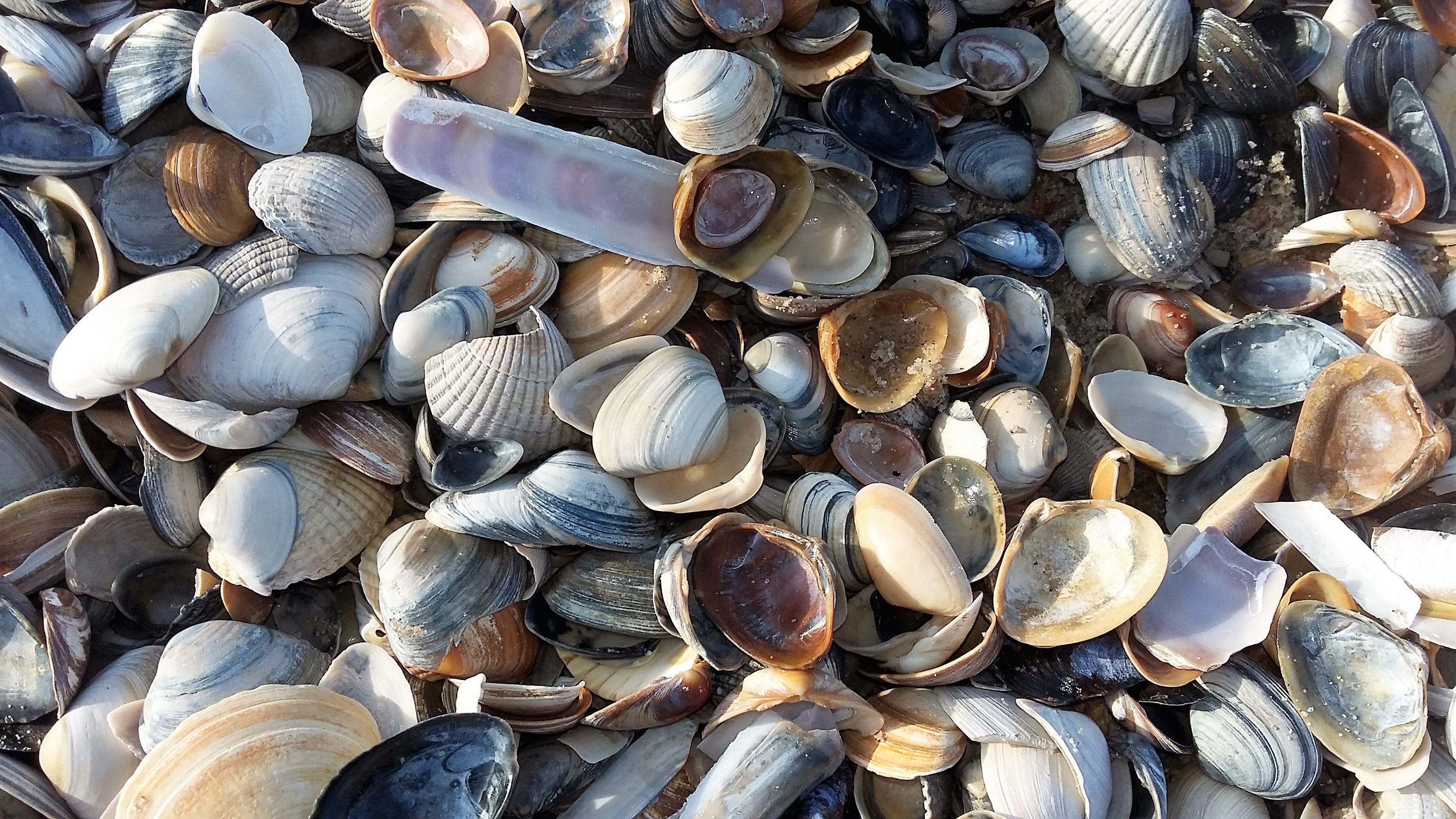Mussels, Animal, Beach, Mussel, Nature, HQ Photo
