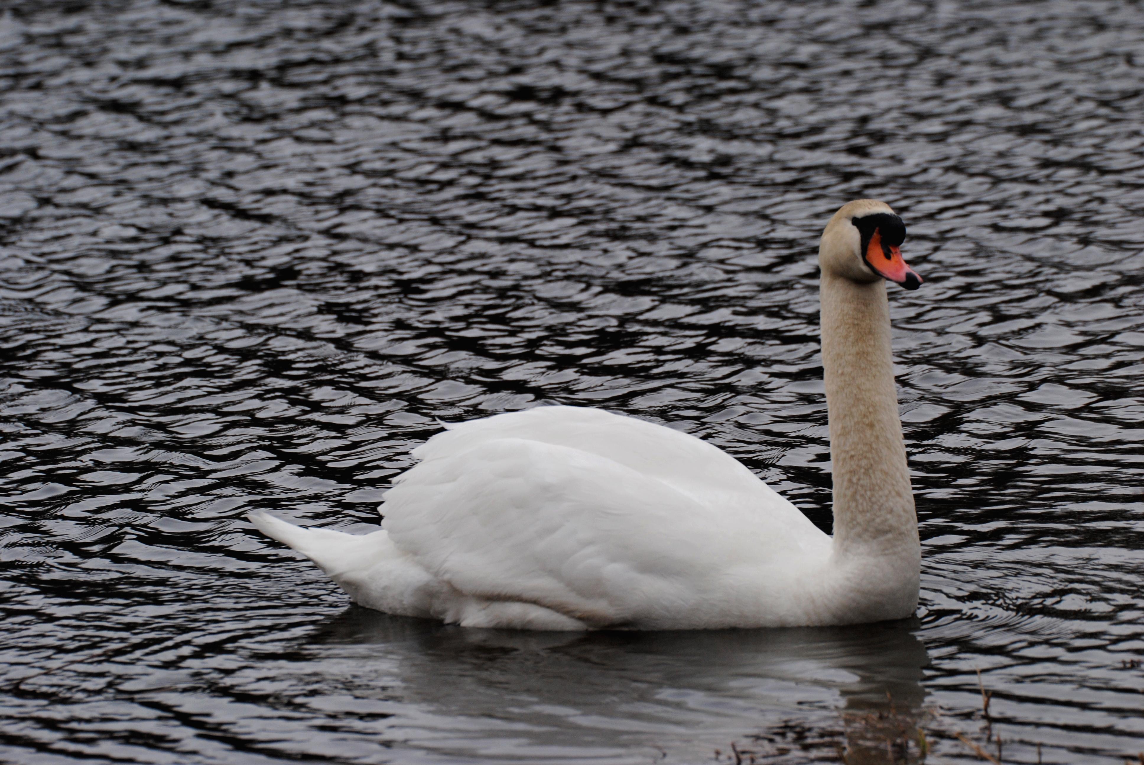 Mute swan photo