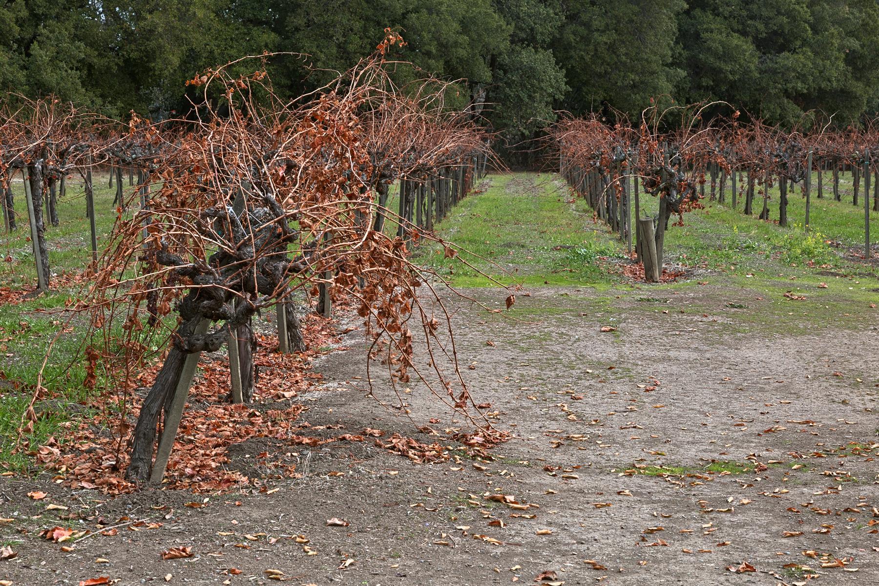 Napa valley vineyard - hdr photo