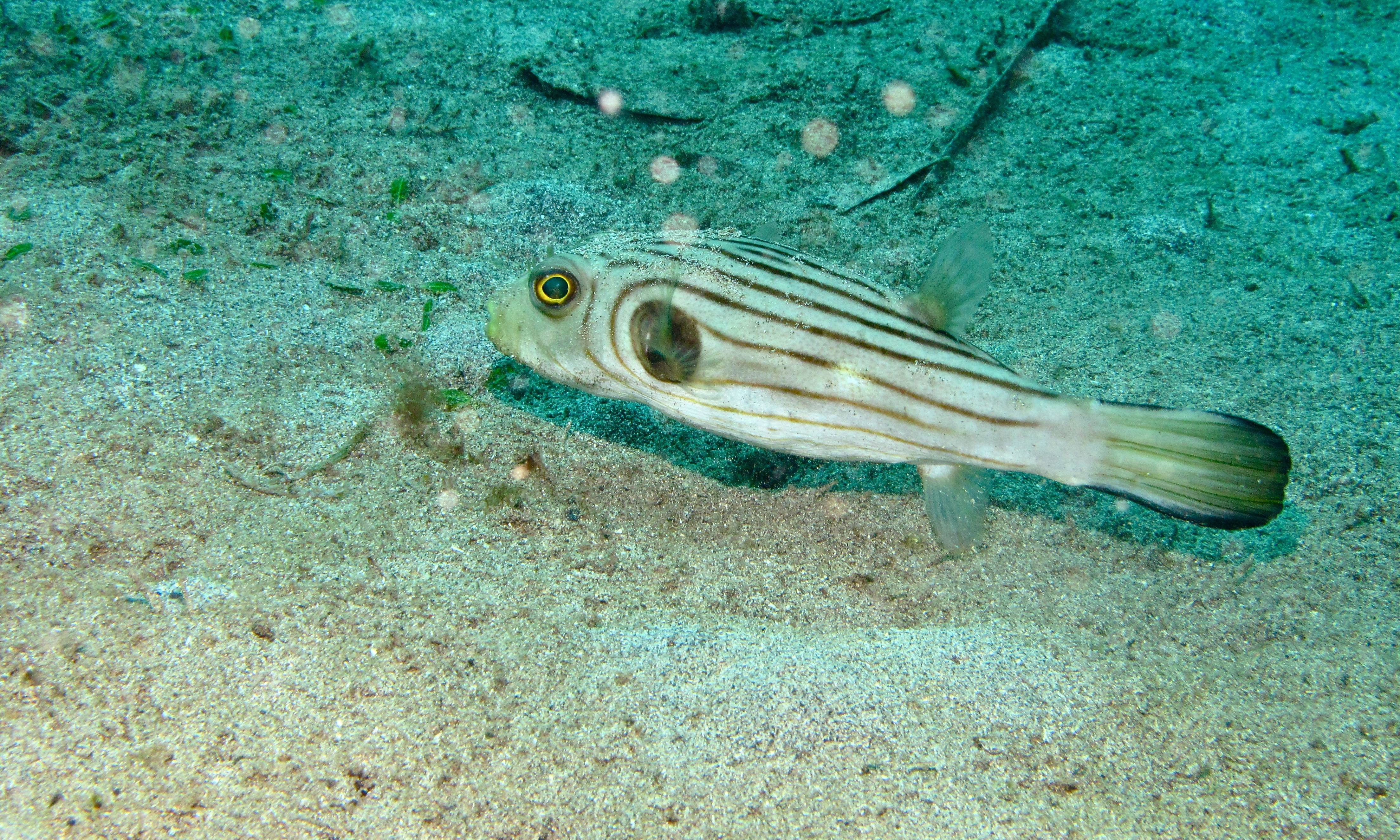 Narrow lined puffer photo