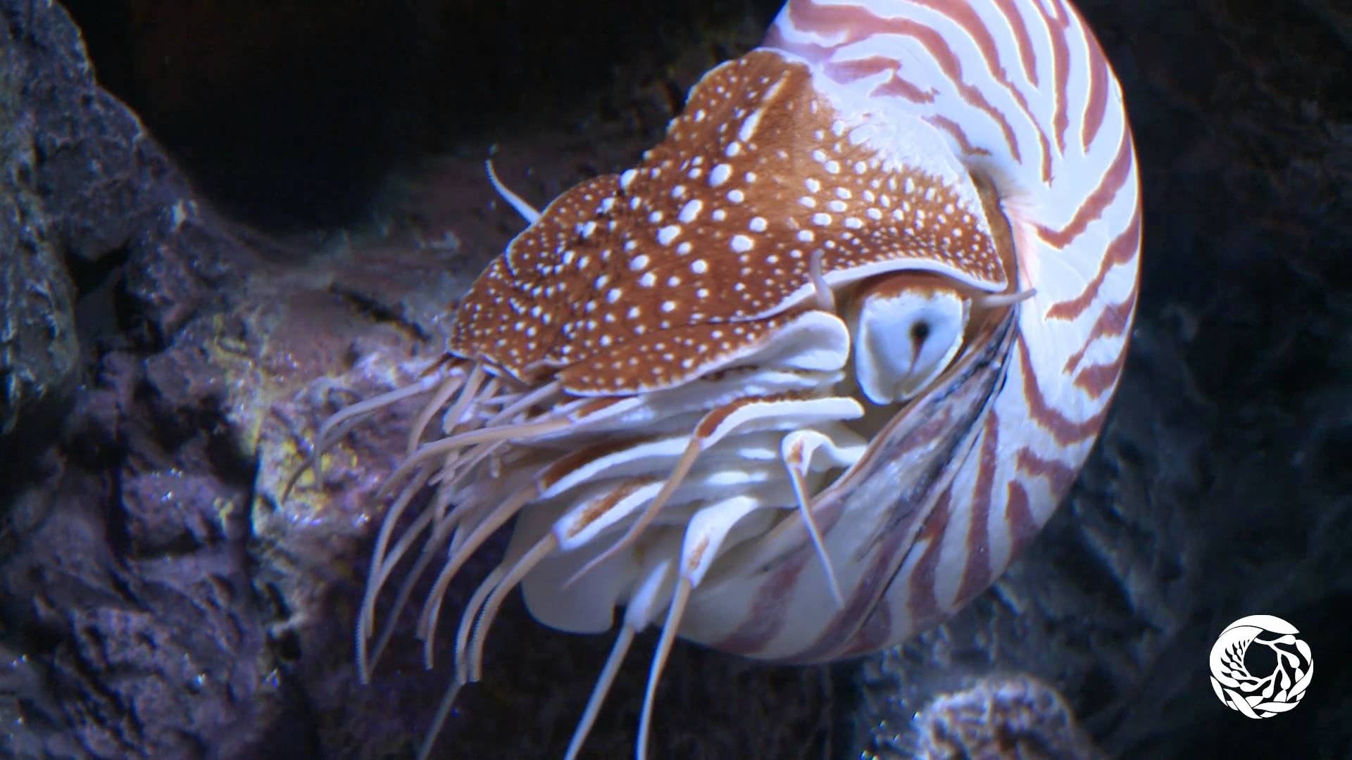The Chambered Nautilus: A Living Link With the Past - YouTube