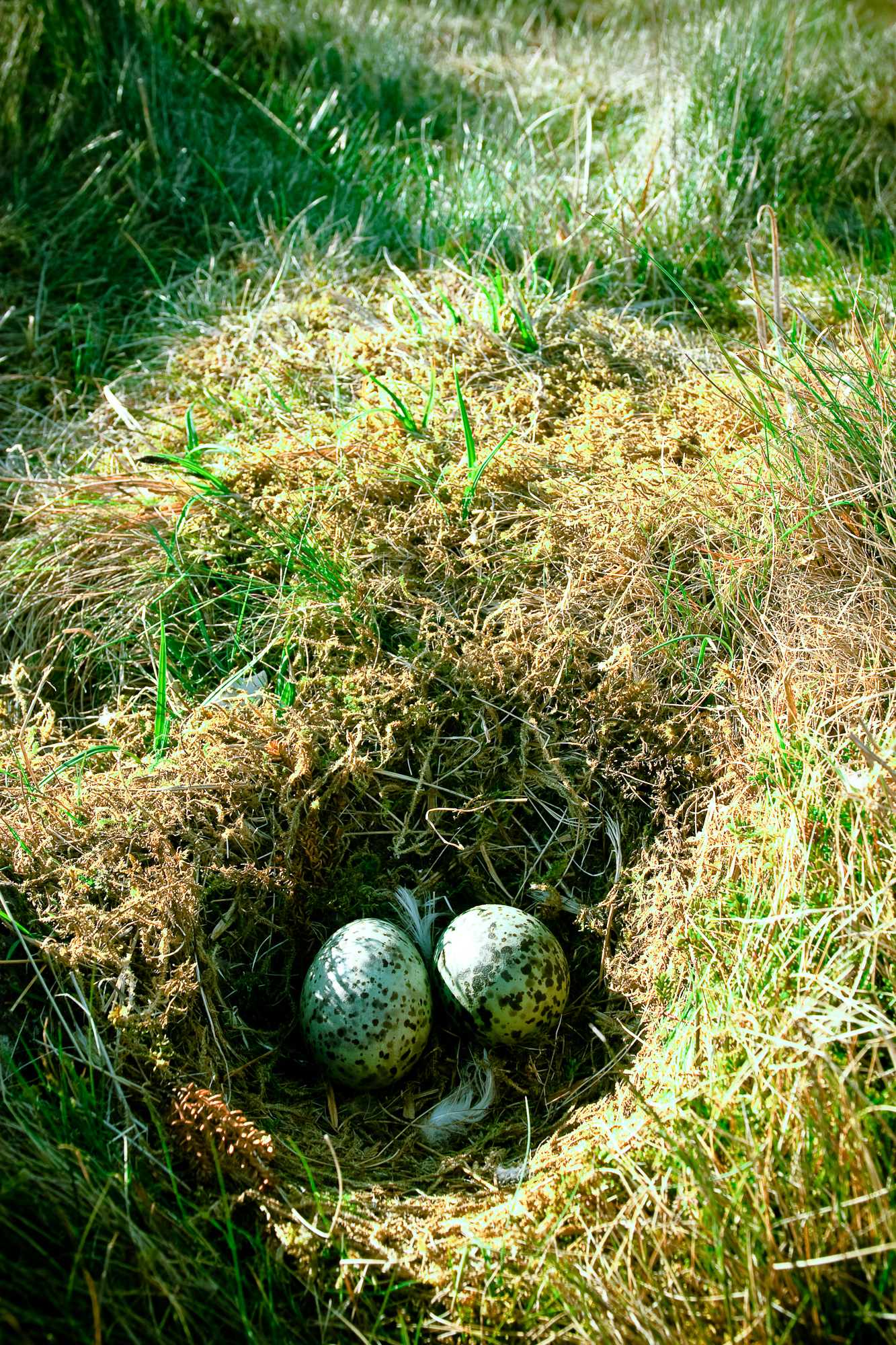 Nest with eggs, Bird, Camouflage, Eggs, Grass, HQ Photo