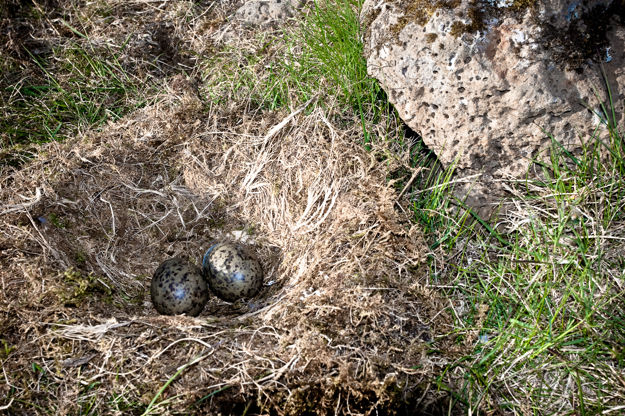 Nest with eggs, Nature, Nest, Seagul, Shell, HQ Photo