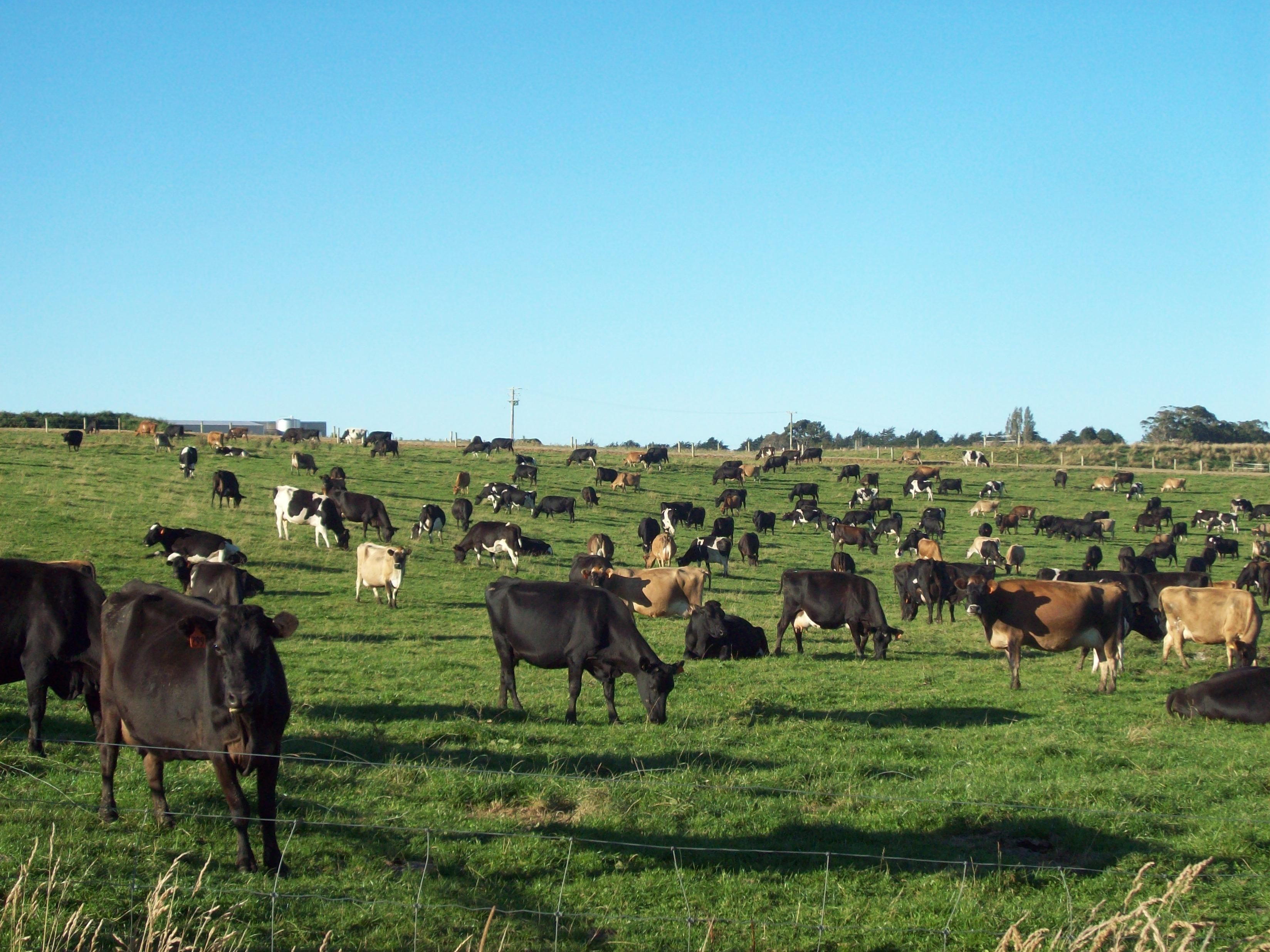 New zealand dairy country photo