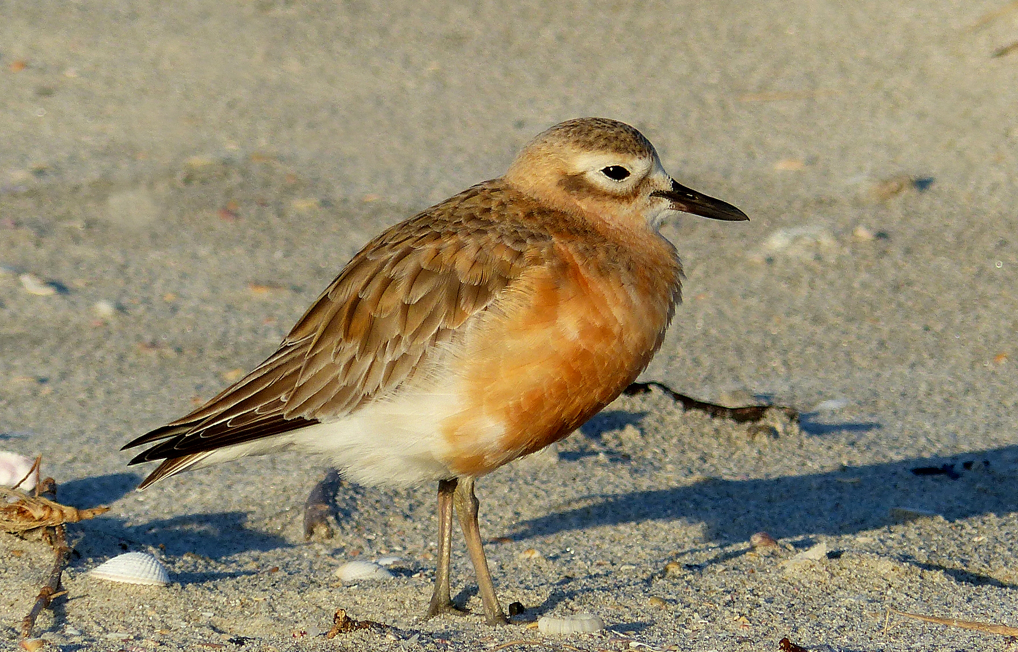 New zealand dotterel. photo