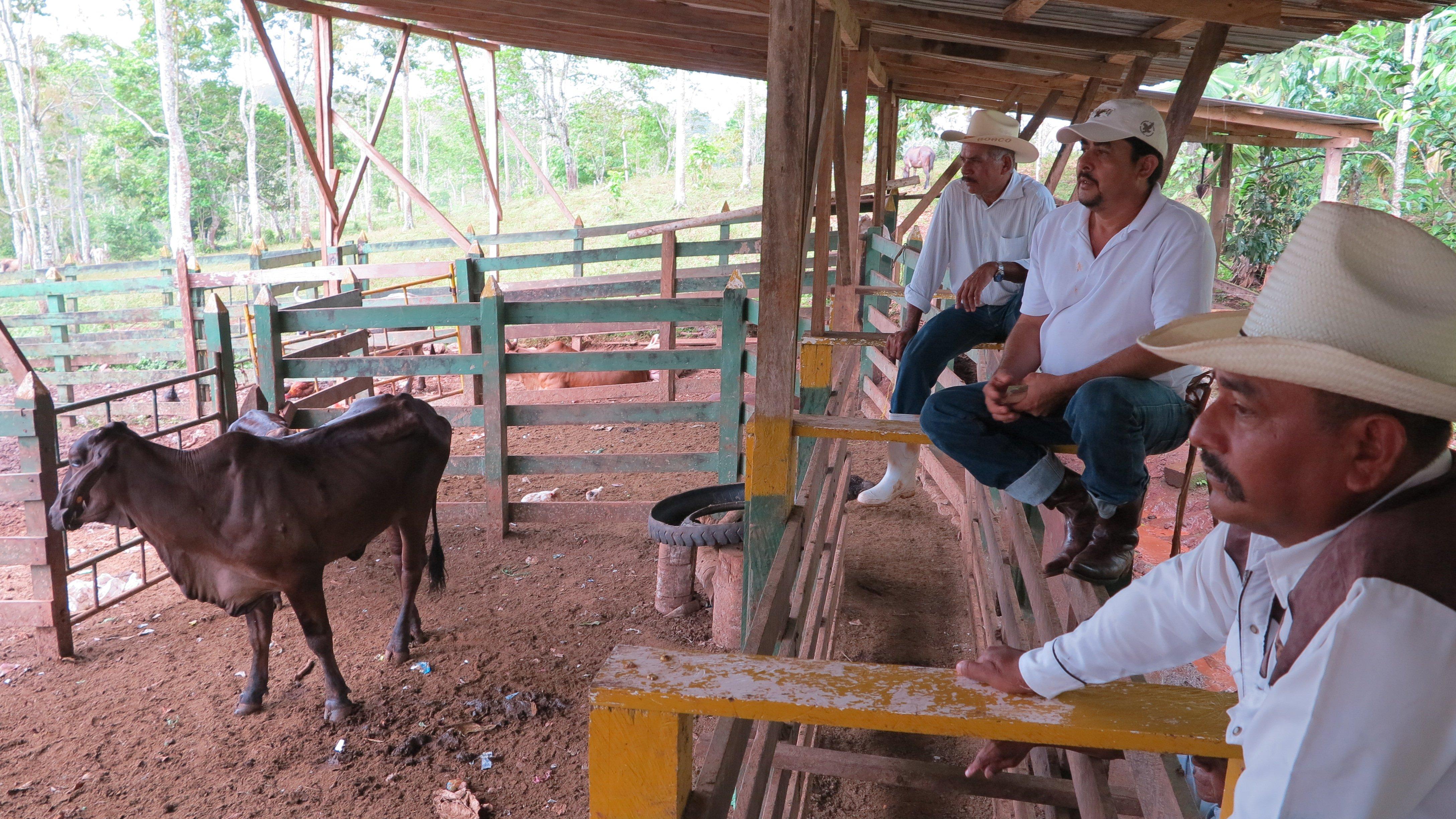 Nicaraguan cattle photo