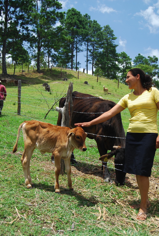 Nicaraguan cows photo