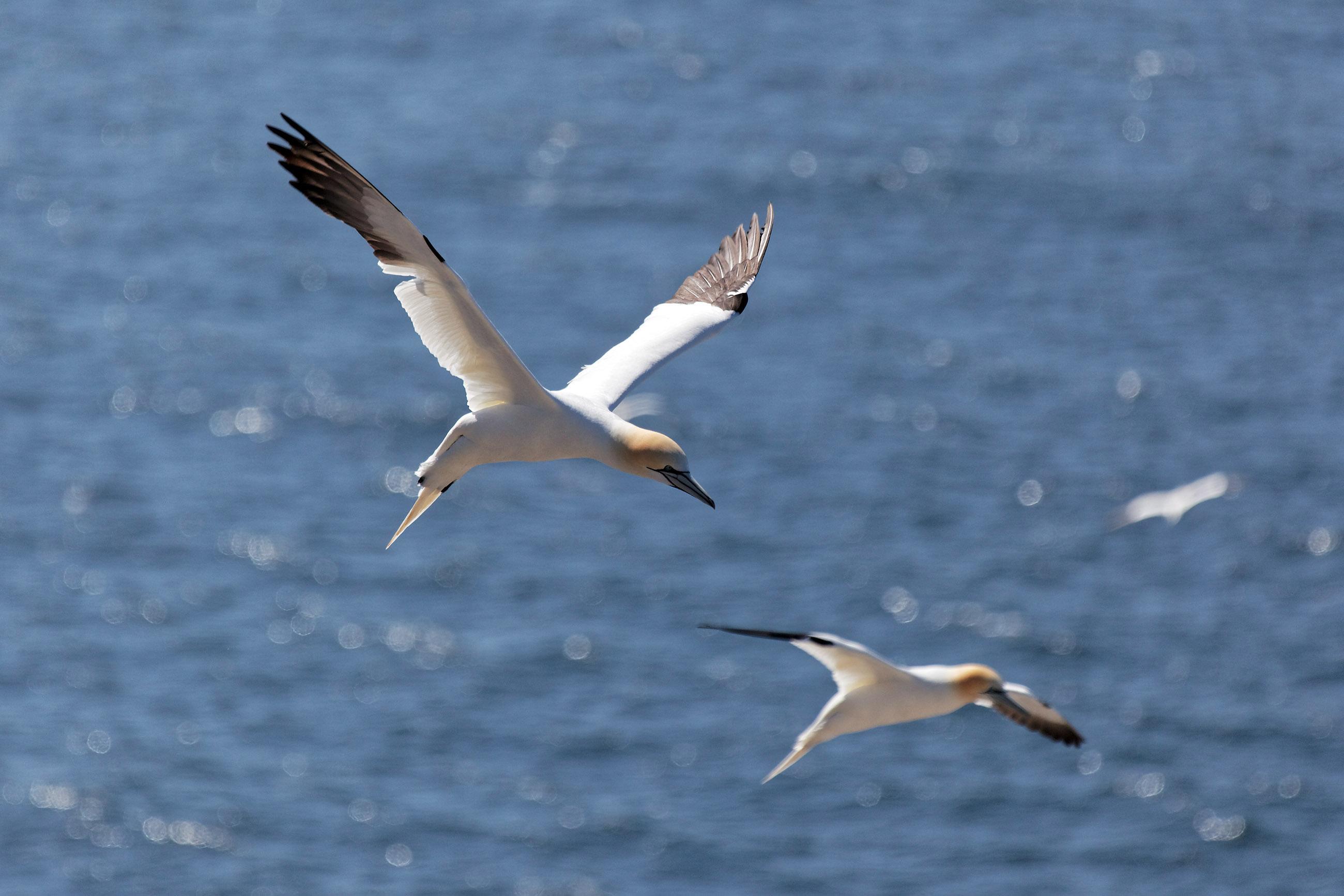 Northern gannet photo