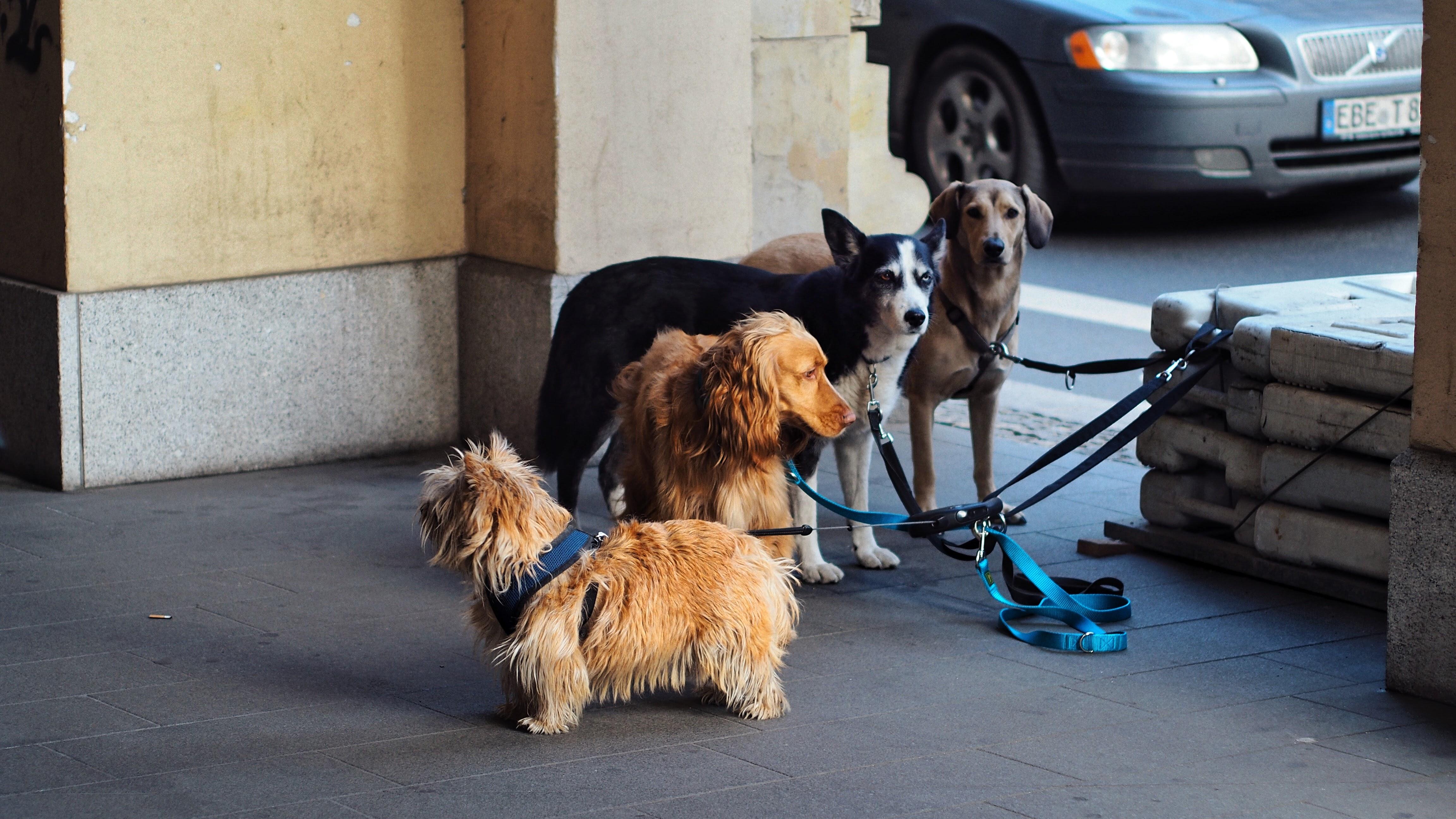 Norwich terrier, irish setter, siberian husky and labrador retriever photo