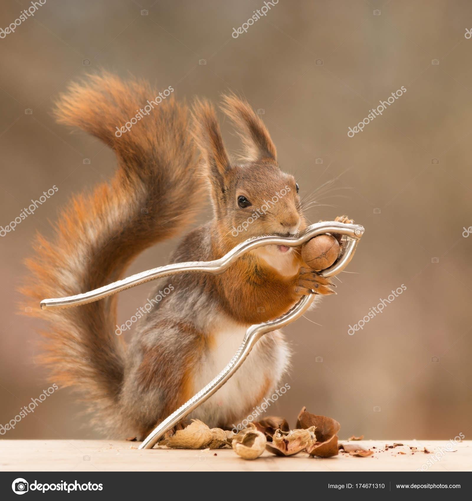 nutcracker with a nut in mouth — Stock Photo © geertweggen@yahoo.com ...