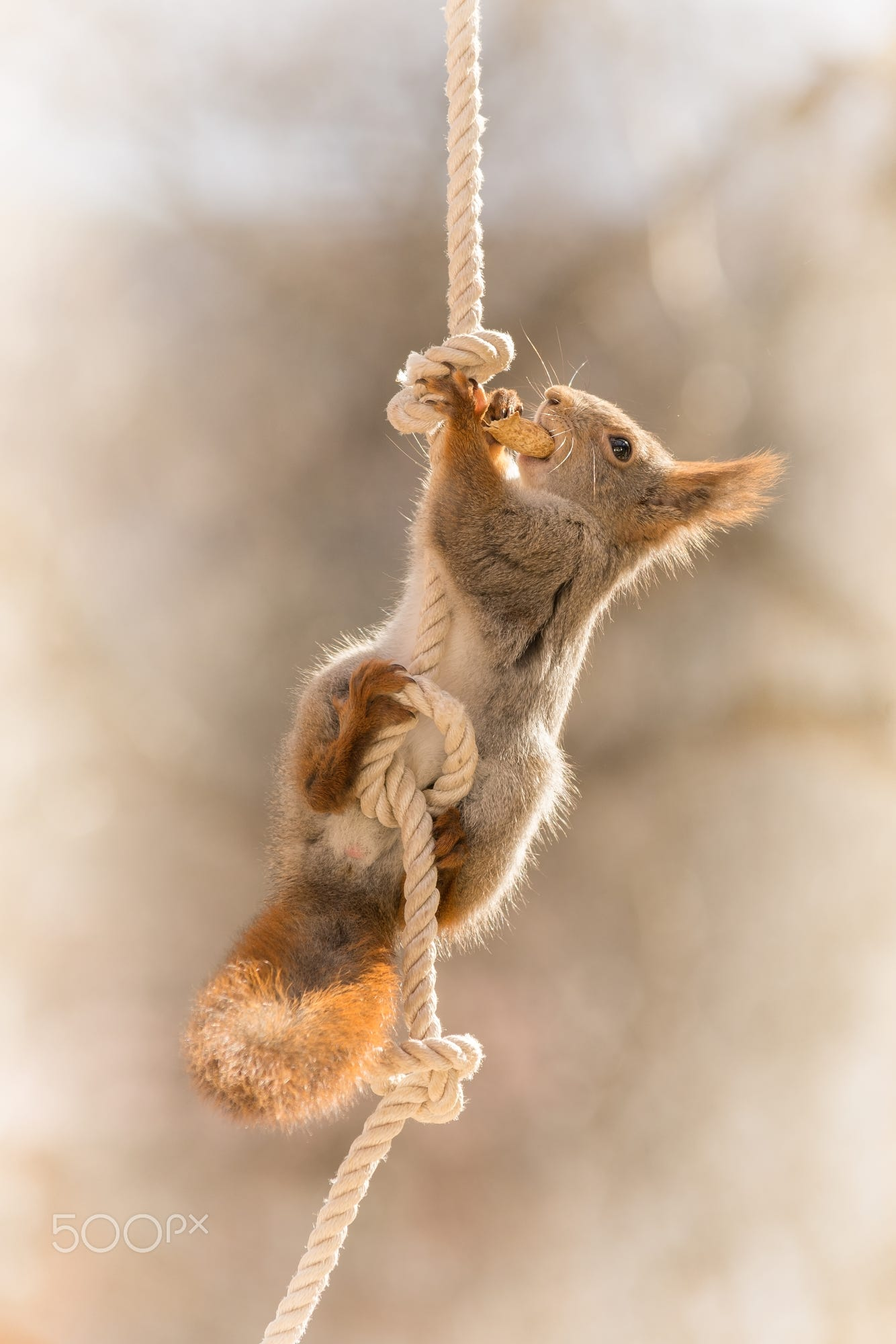 close up of red squirrel hanging in a rope with a nut in mouth ...