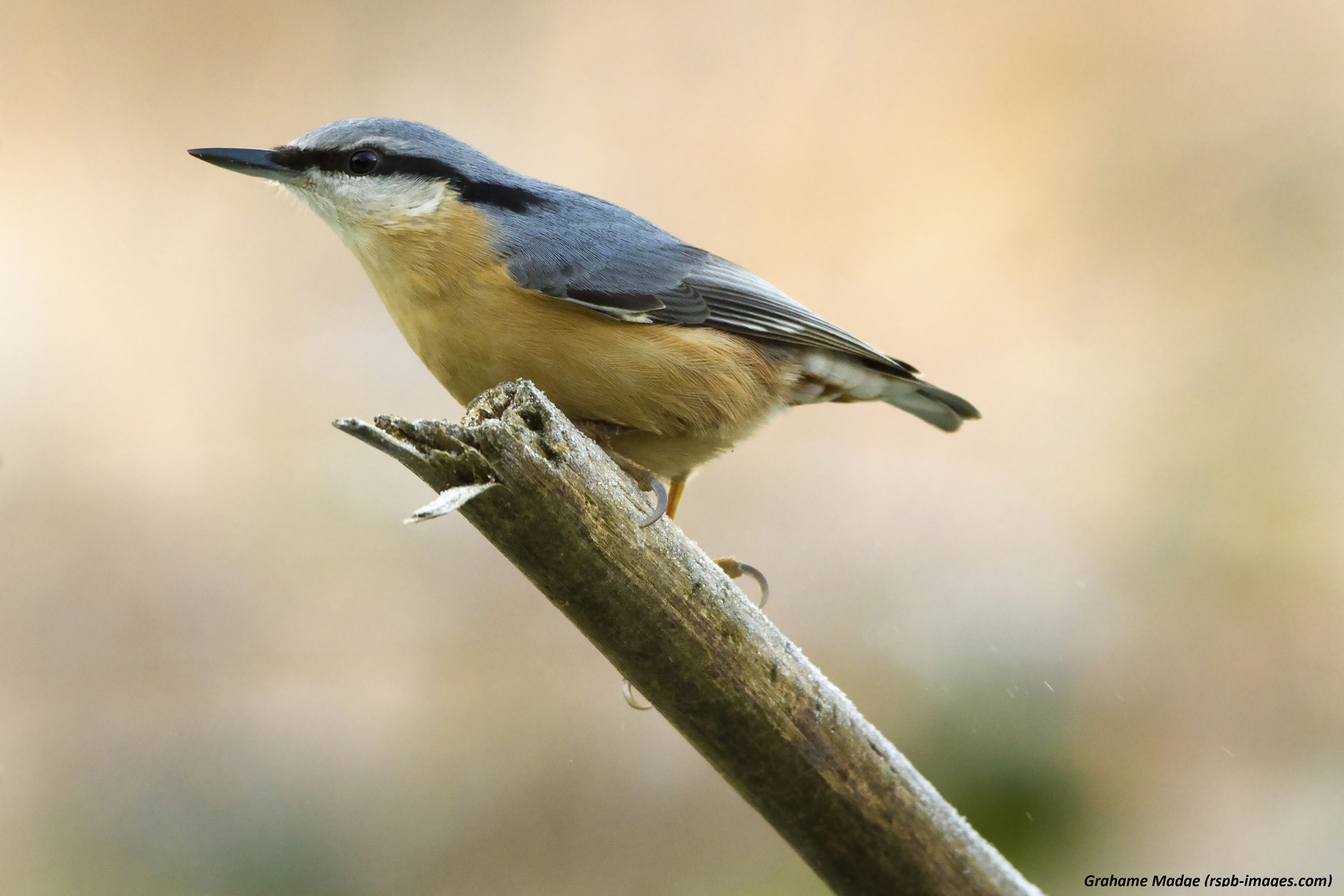 Five facts you should know about nuthatches - Scottish Nature Notes ...