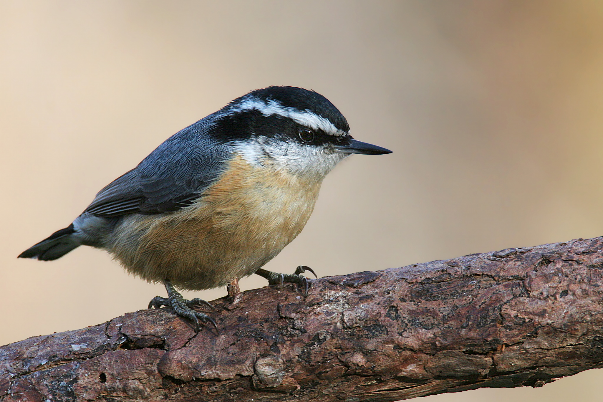 File:Red-breasted-Nuthatch.jpg - Wikimedia Commons