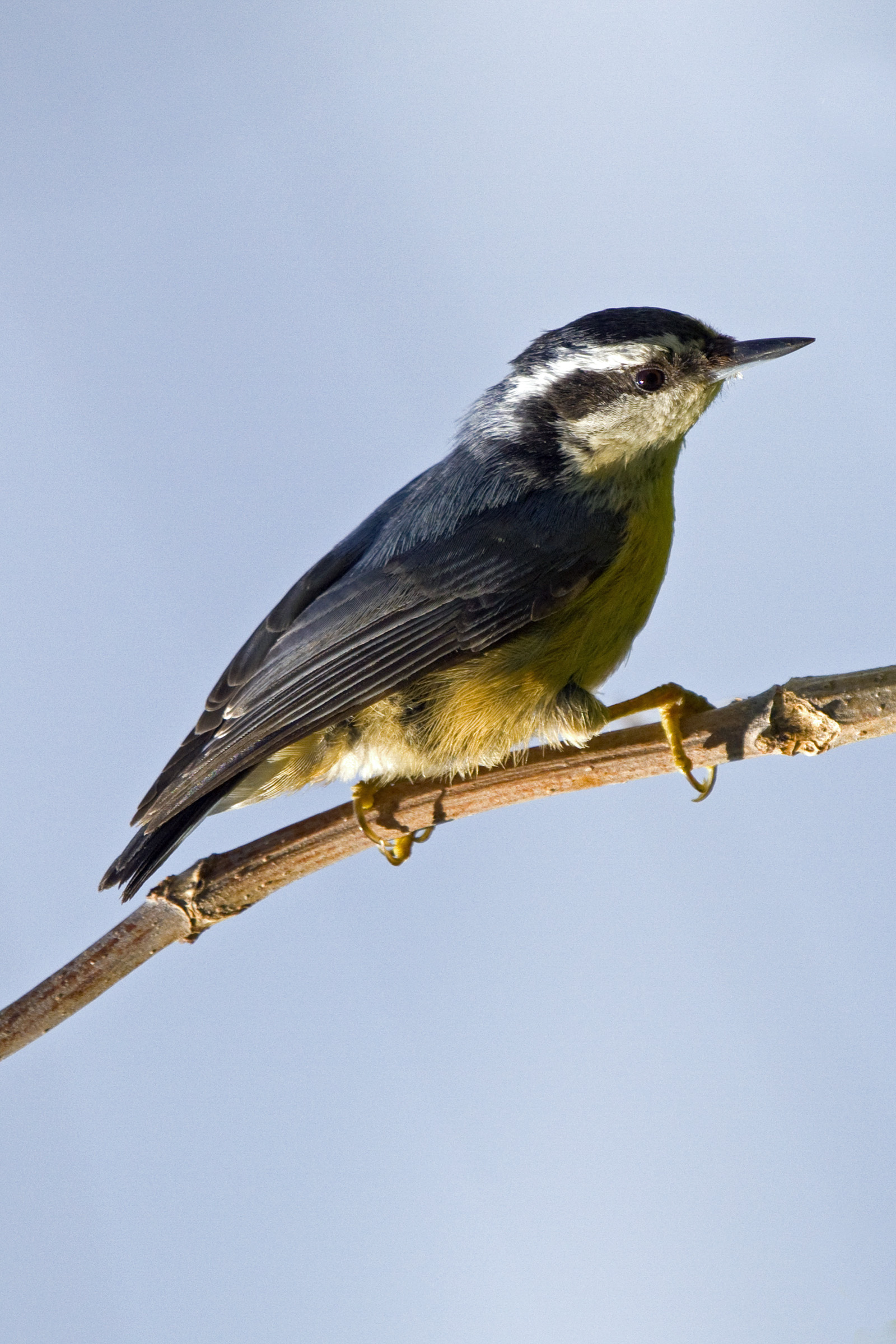 Nuthatch, Animal, Birds, Branch, Nature, HQ Photo