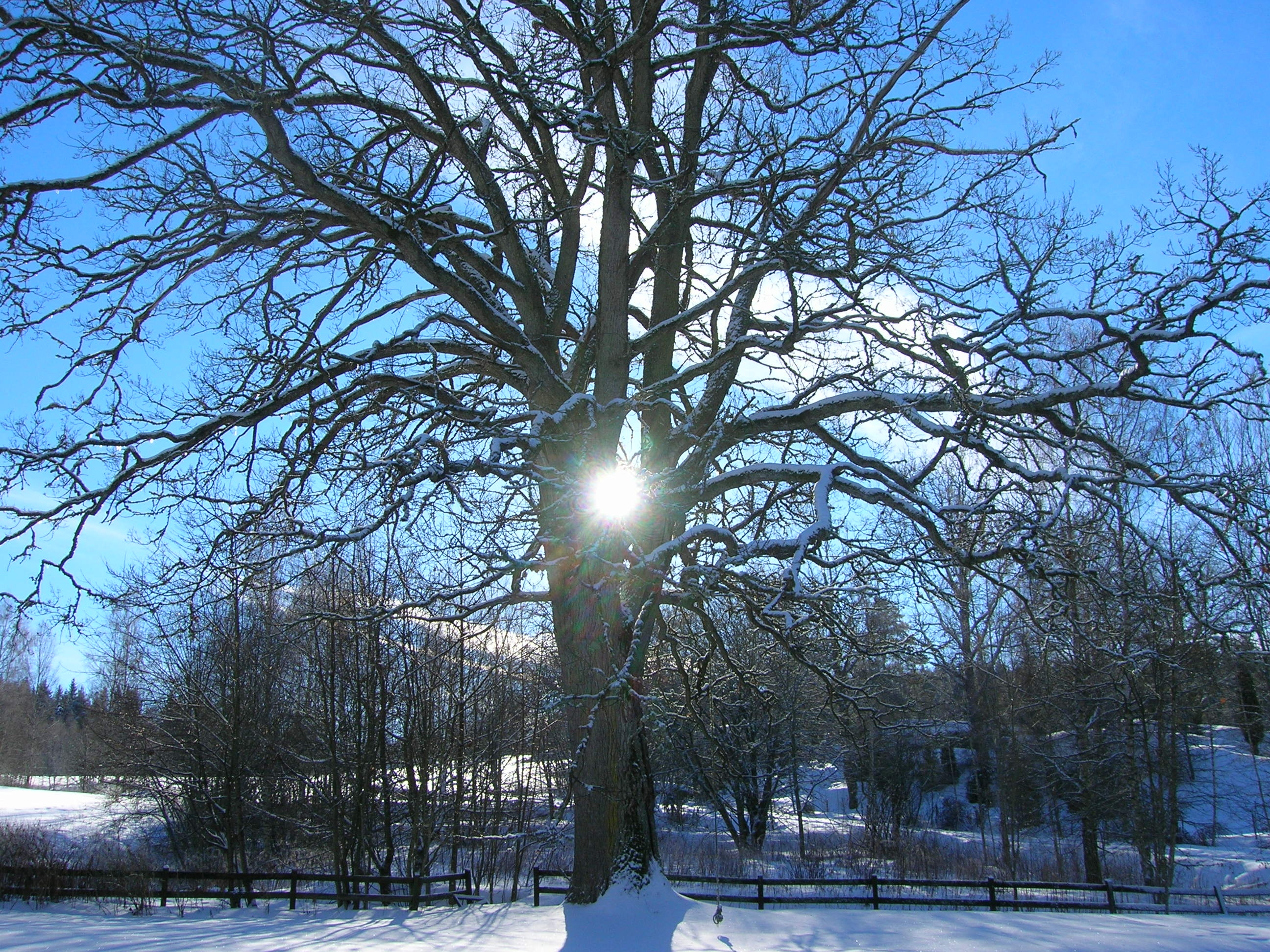 Oak tree in winter photo